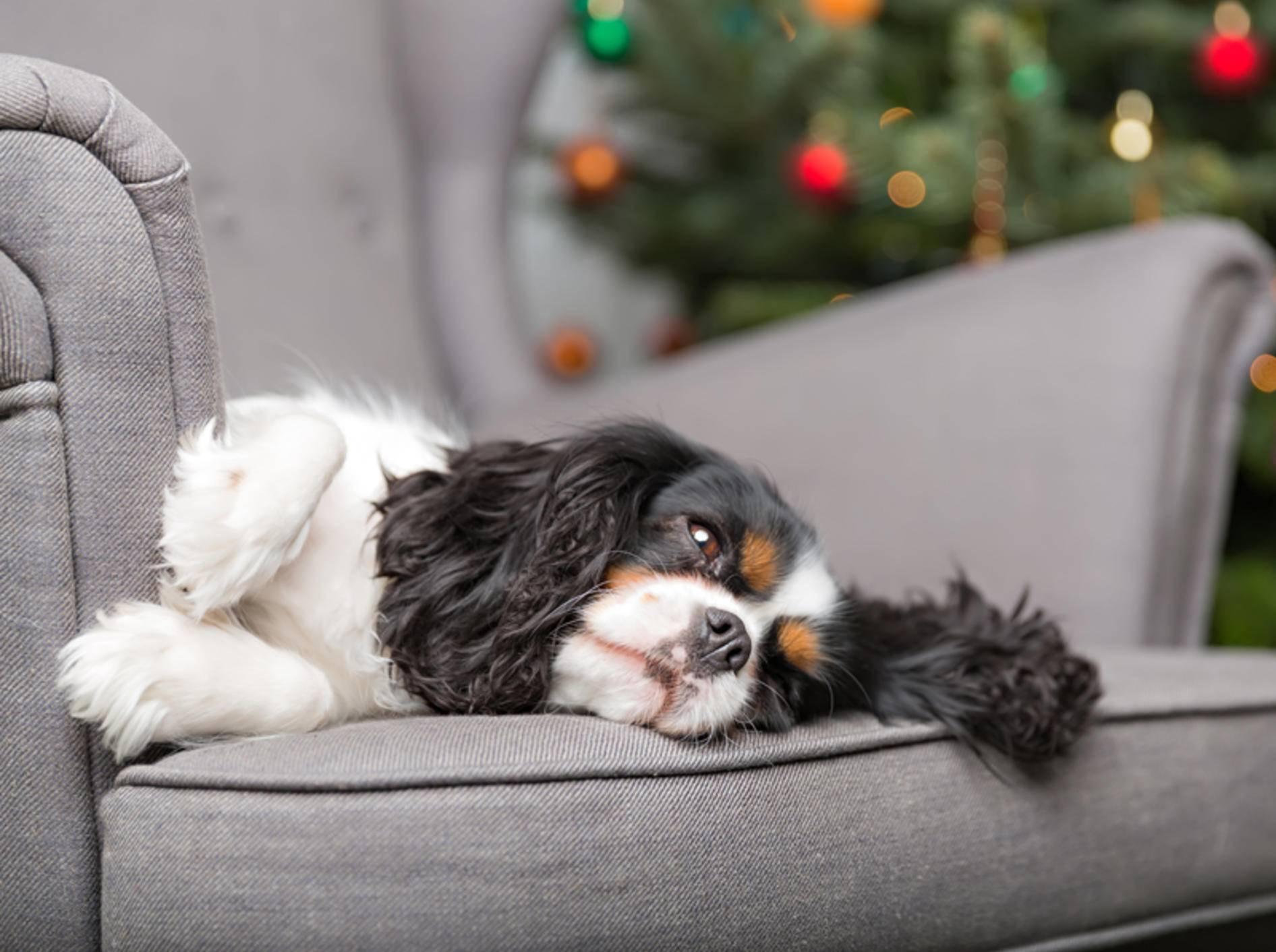 """Dieser gemütliche Cavalier King Charles Spaniel findet: """"Ein Hund darf auch mal faul sein"""" – Shutterstock / Fotyma"""