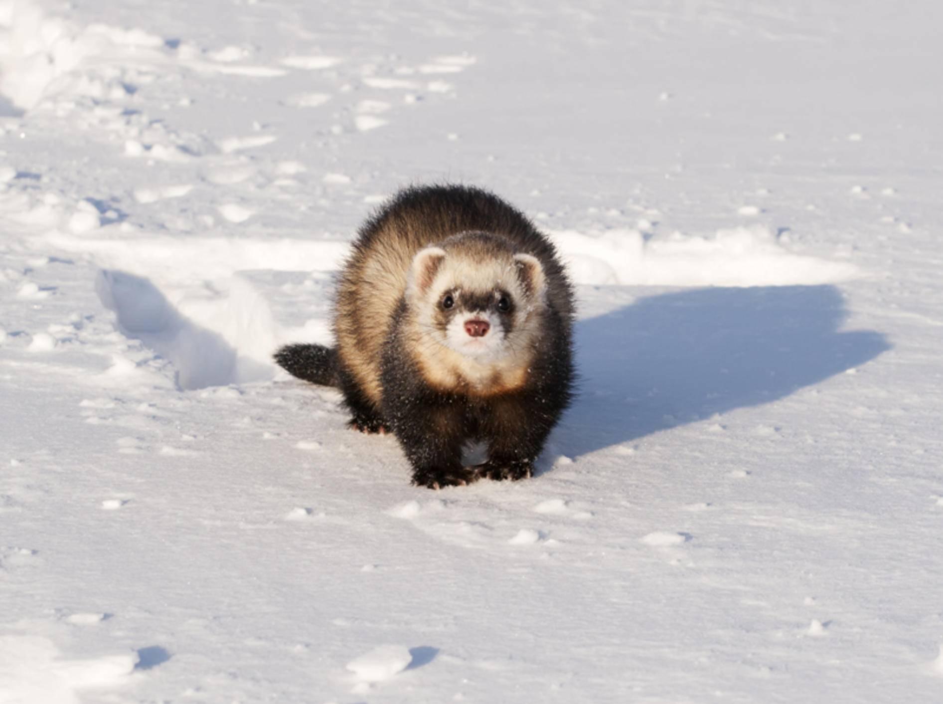 Schnee macht Frettchen im Winter dank ihres plüschigen Fells nichts aus – Shutterstock / Timof