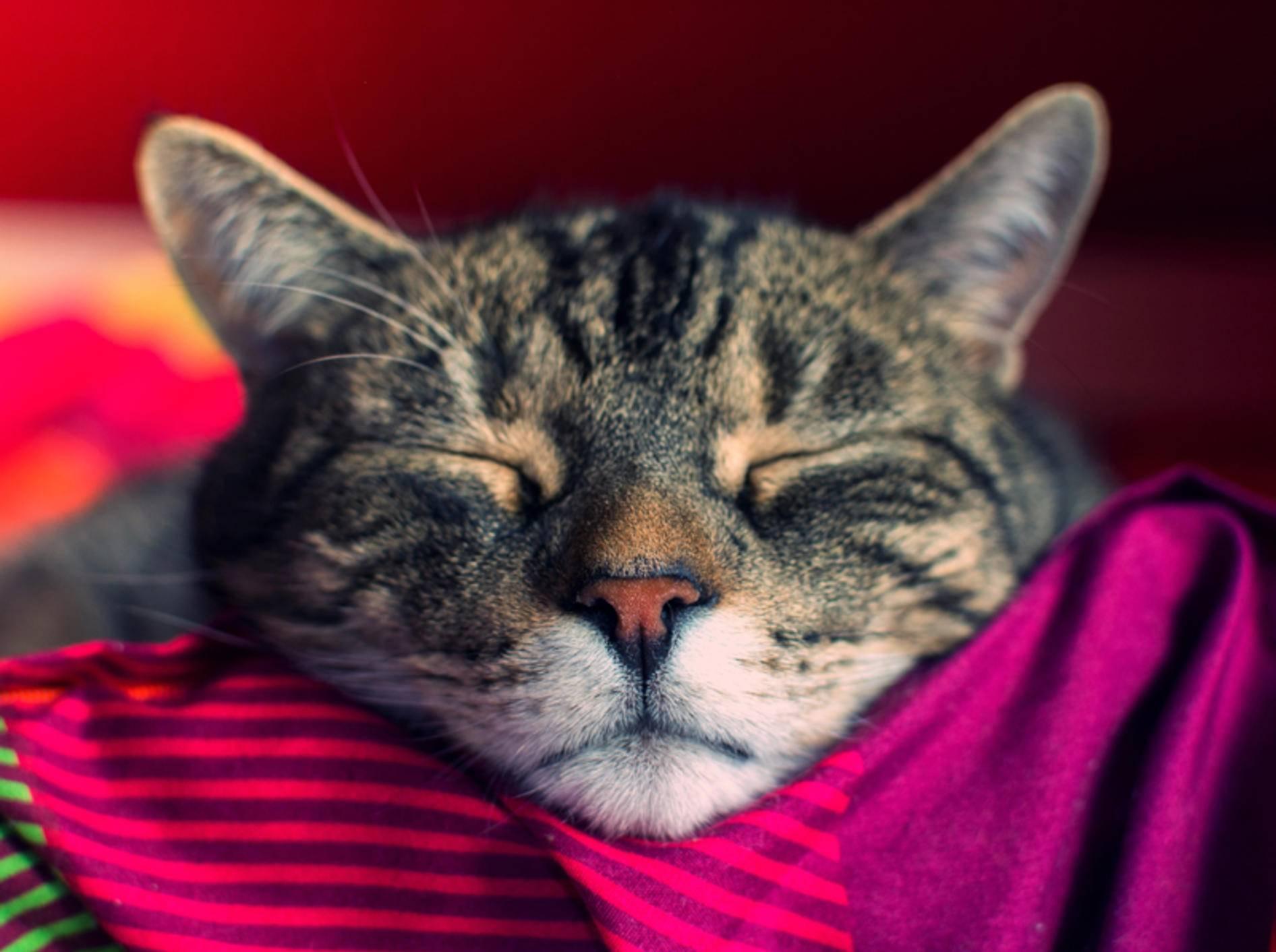 Auch Hauskatzen sind in der Regel wunderbar für Anfänger geeignet – Shutterstock / DavidTB