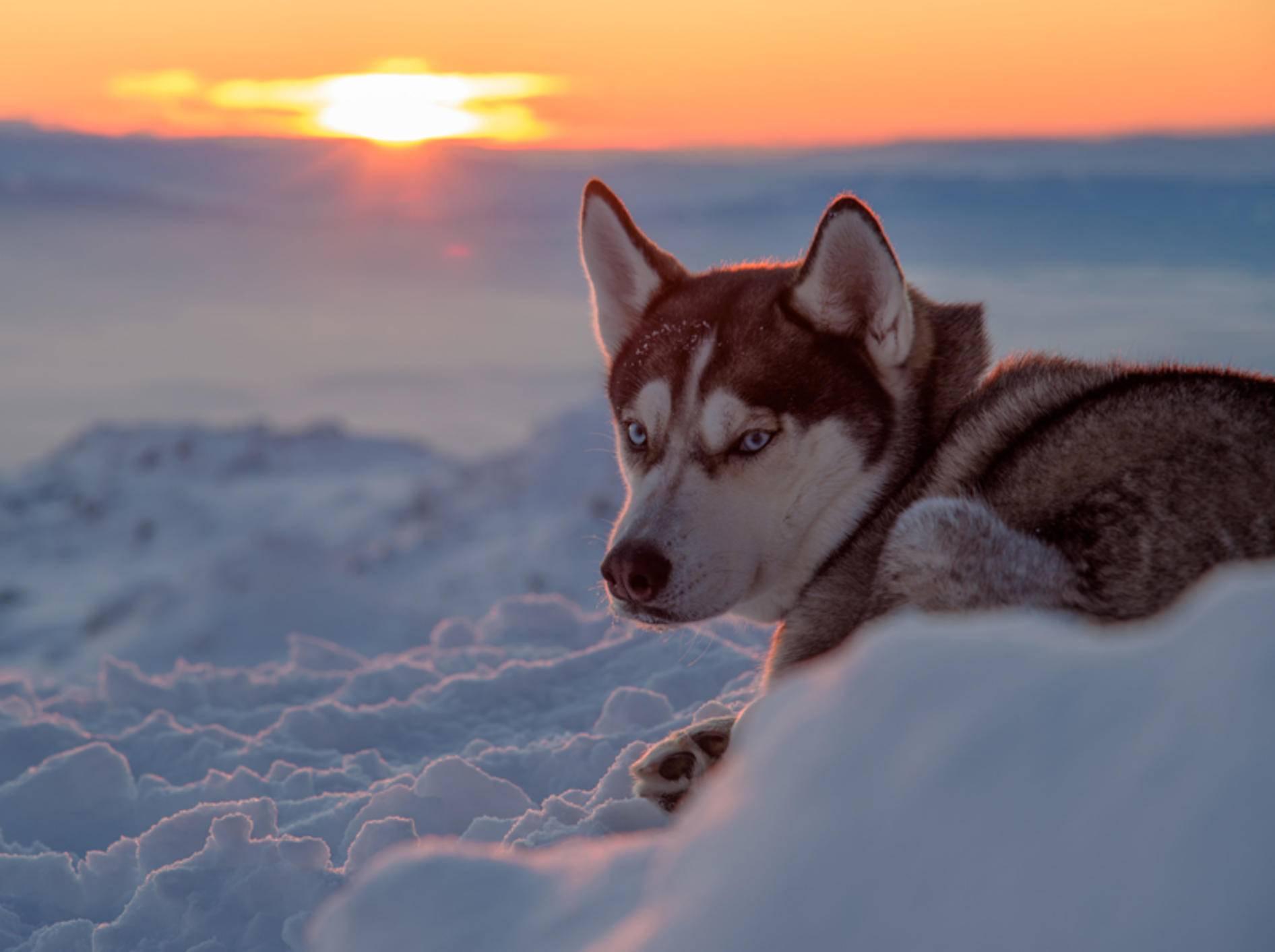 Huskys brauchen viel Bewegung und gutes Futter, um gesund zu bleiben – Shutterstock / Todor N Nikolov