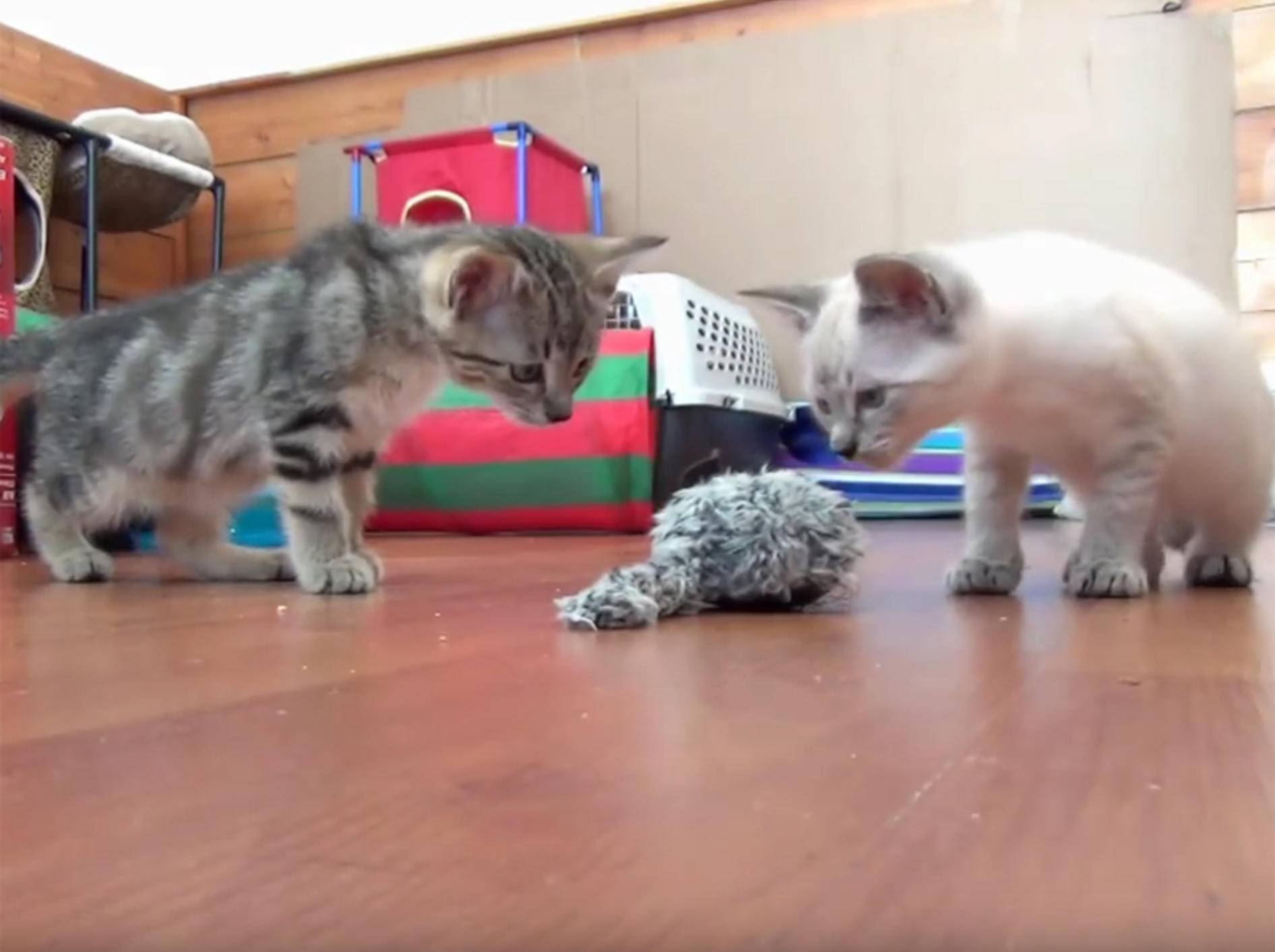 Zuckersüße Kätzchen spielen mit Aufziehmaus – YouTube / The Kits Cats