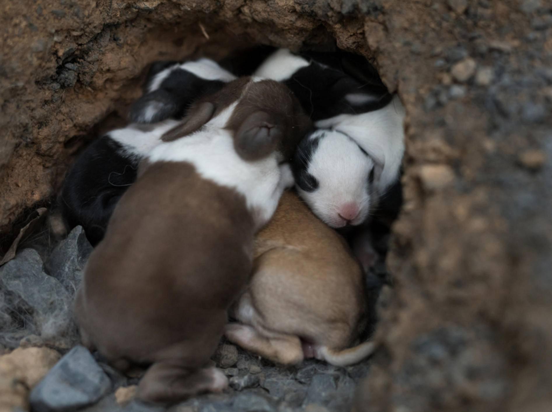 In den ersten Tagen sind Kaninchenbabys noch völlig hilflos; entwickeln sich dann aber zügig – Shutterstock / papanum