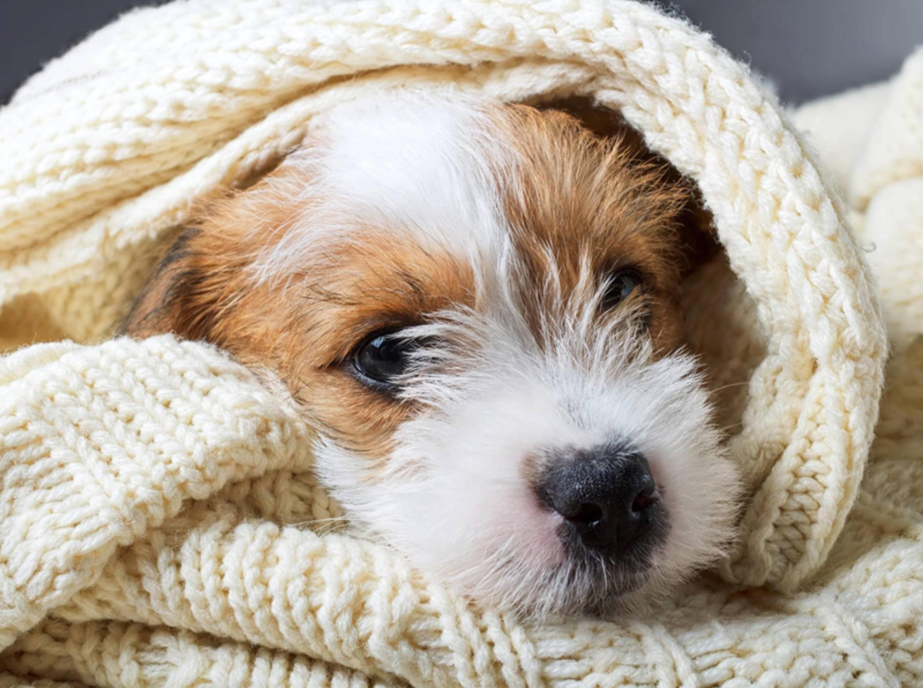 Wenn Ihr Hund sich plötzlich zurückzieht oder versteckt, ist er womöglich krank – Shutterstock / Sundays Photography