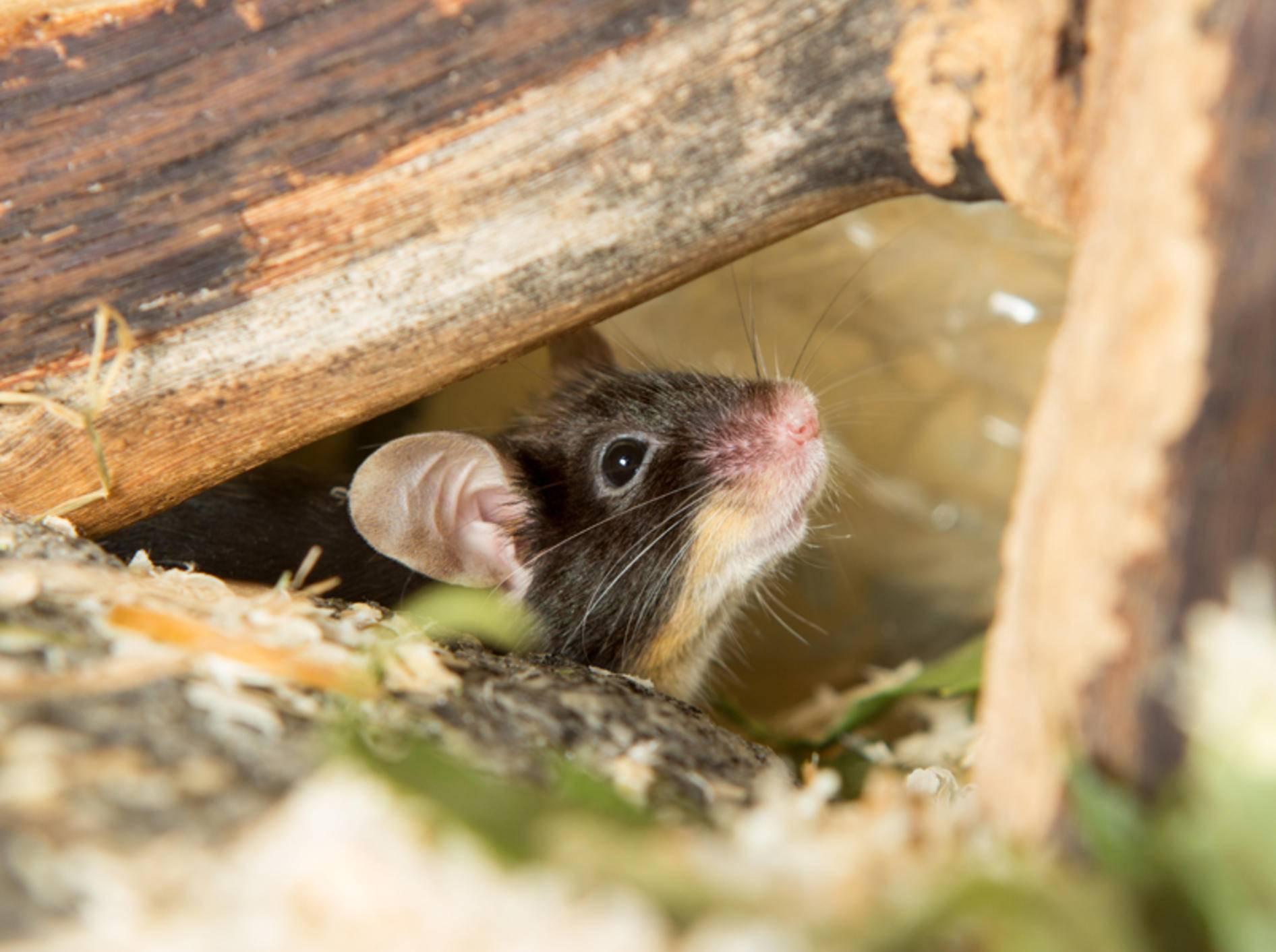 So fühlen sich Mäuse wohl: sicherer Unterschlupf aus Naturholz zum Verstecken – Shutterstock / Martina Osmy