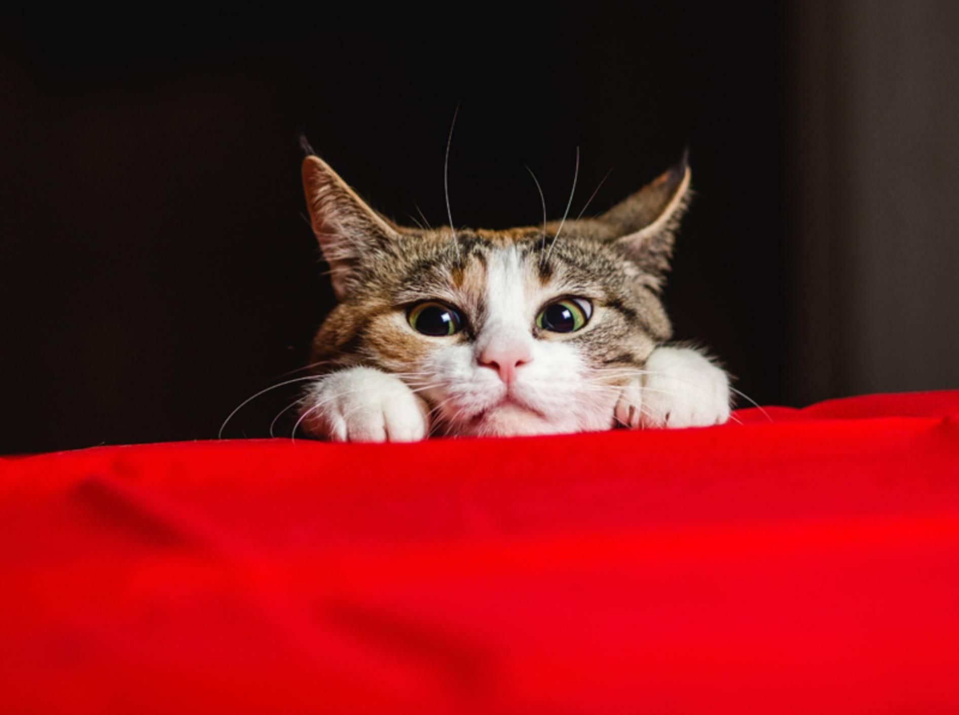 """""""Wie viele Leben soll ich haben? Sieben oder neun?"""", wundert sich diese Katze – Shutterstock / Sergey Zaykov"""
