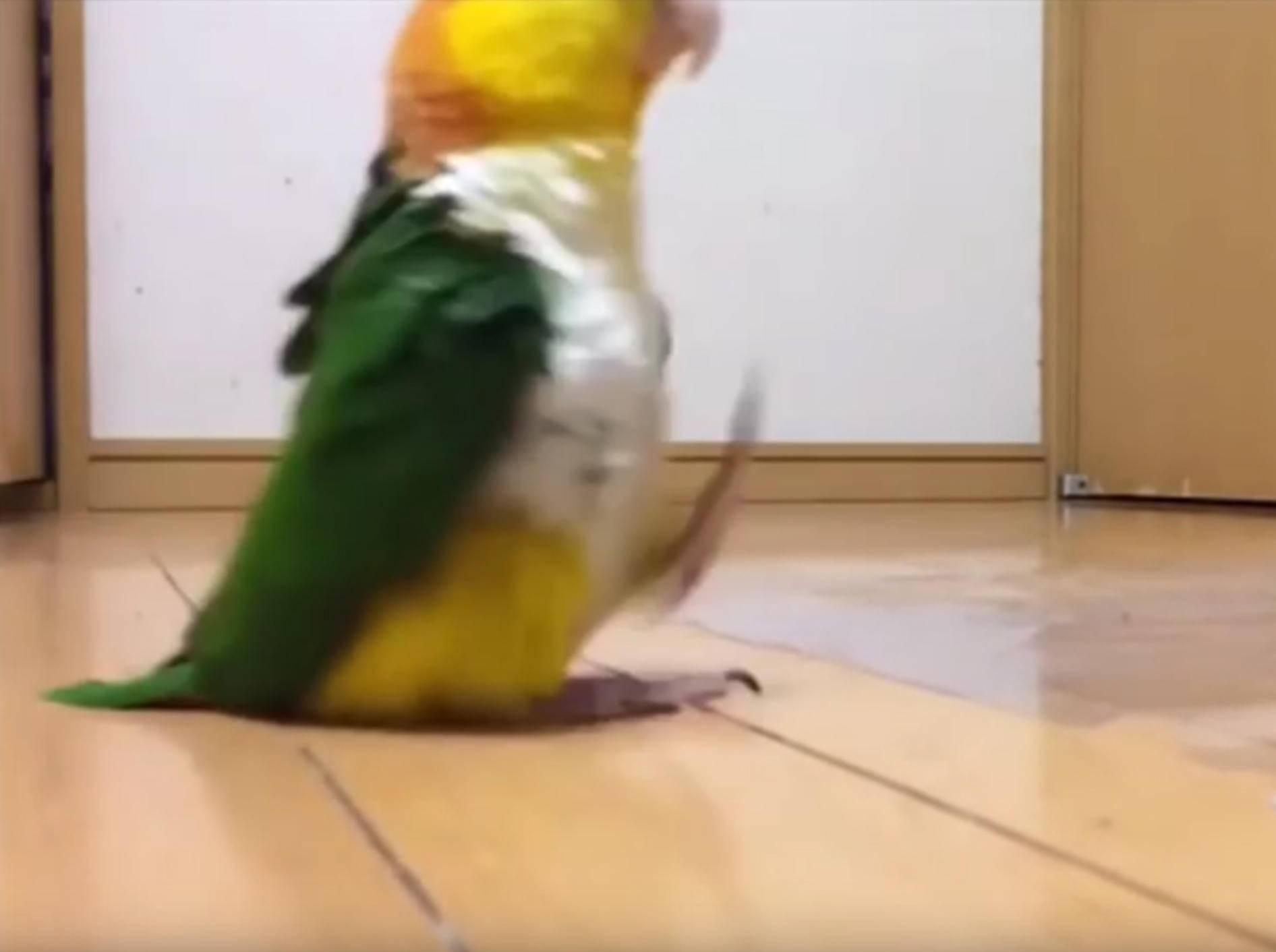 Papagei stolziert zu Militärmarsch über den Boden – YouTube / SiGi