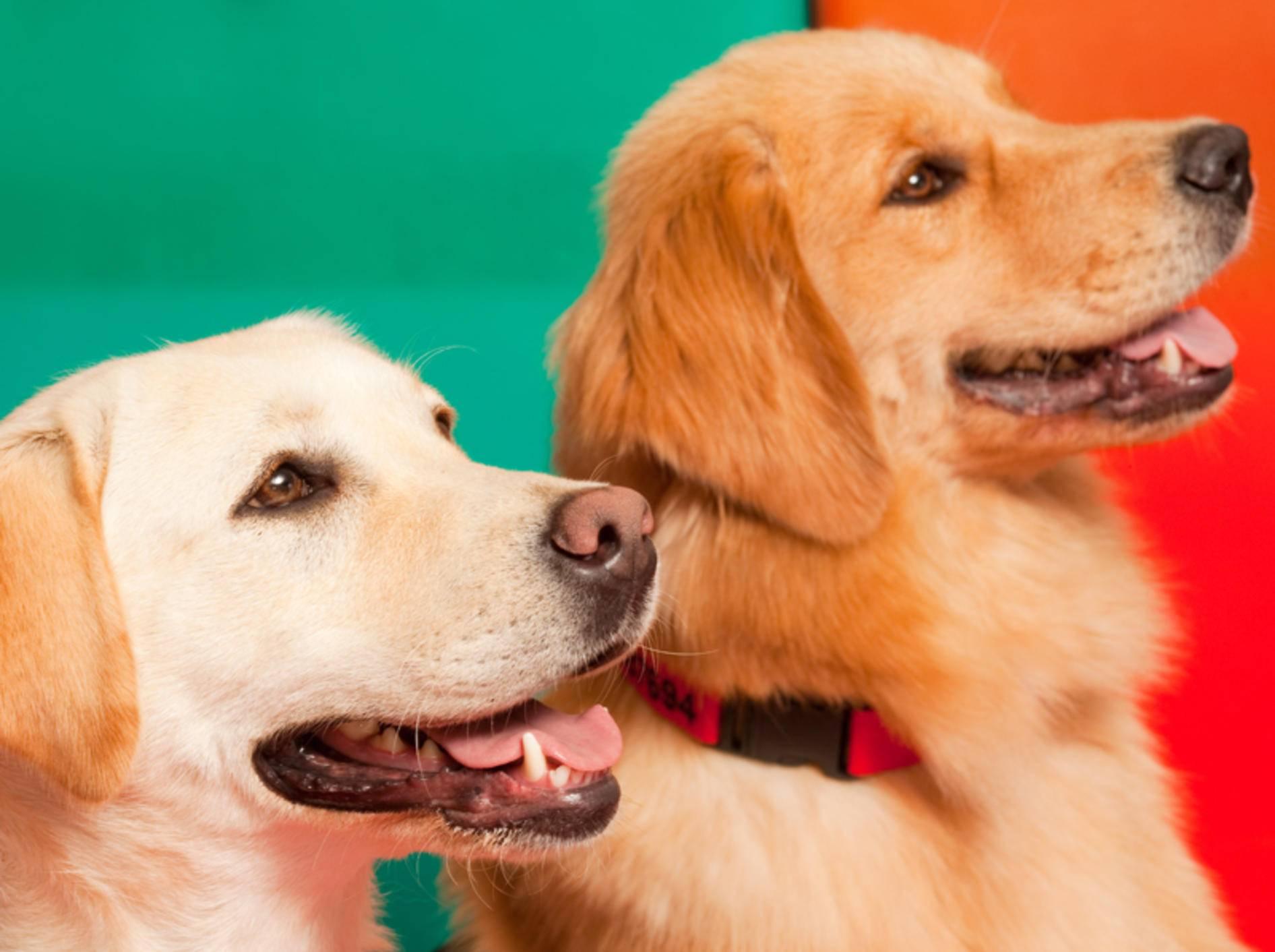 Labrador und Golden Retriever werden oft als Therapiehunde eingesetzt – Jose Luis Stephens