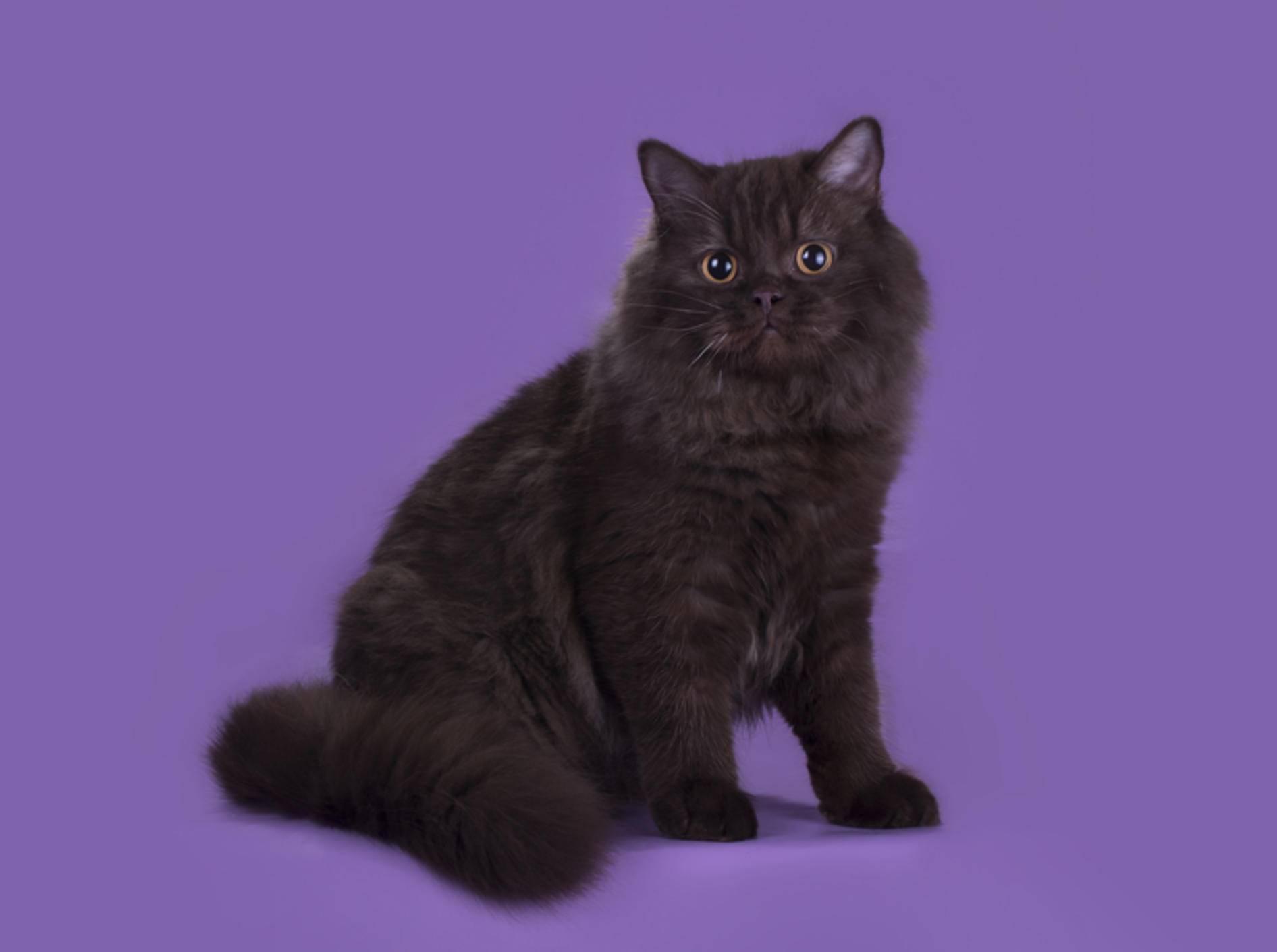 Die Highlander-Katze oder Britisch Langhaar ist ein gemütlicher, verspielter Salonlöwe – Shutterstock / kuban_girl
