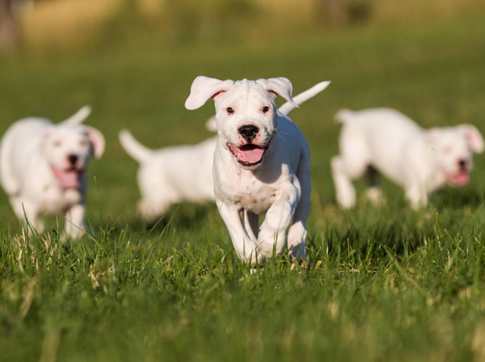 So niedlich ist der Dogo Argentino als Welpe – Bild: Shutterstock / Aneta Jungerova