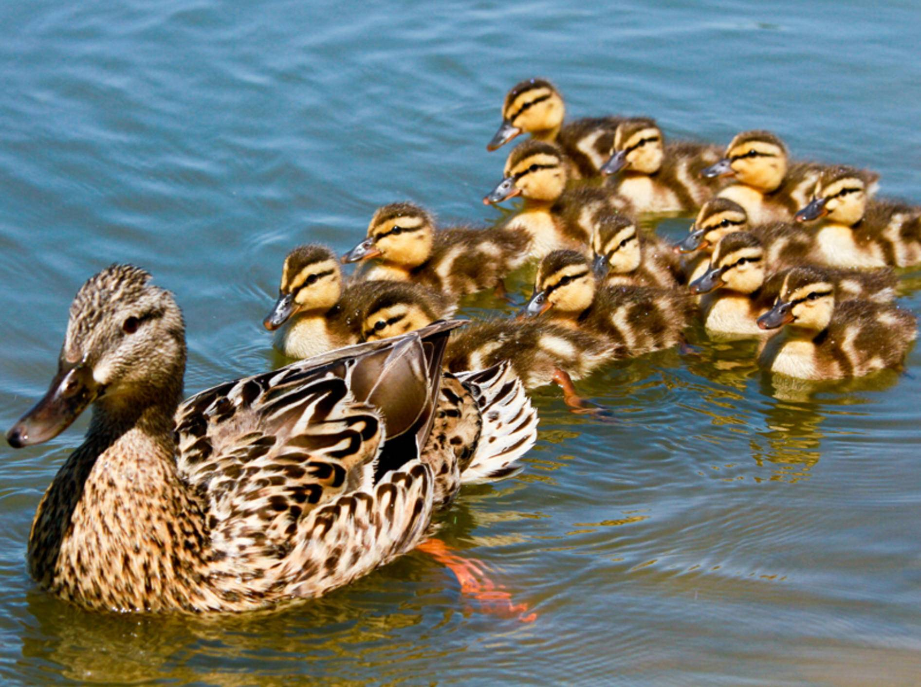 Entenküken werden beim Schlüpfen auf ihre Mutter geprägt und folgen ihr überall hin – Shutterstock / Shannon Jordan