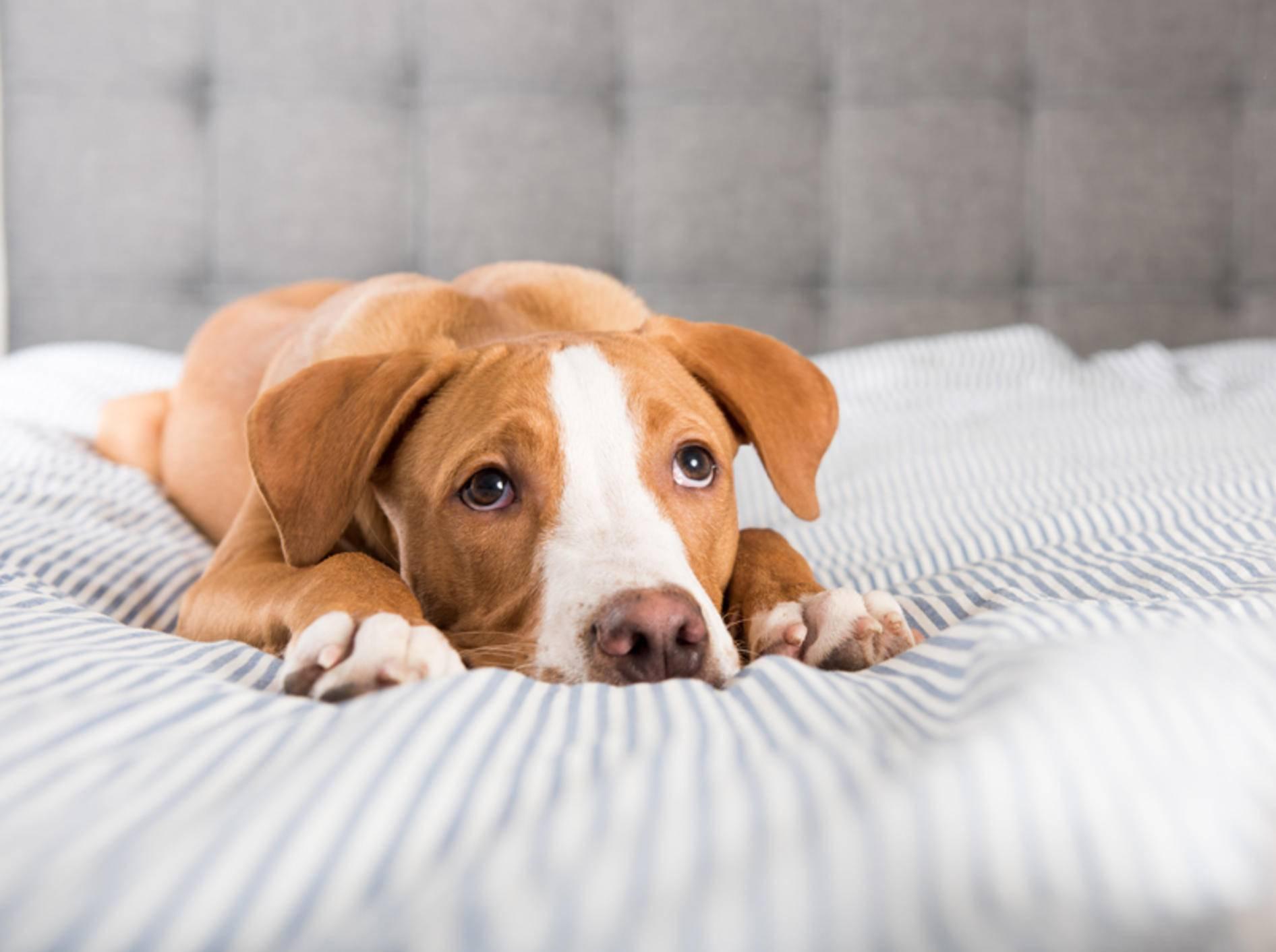 Hund liegt auf dem Bett und schaut mit großen Augen nach oben