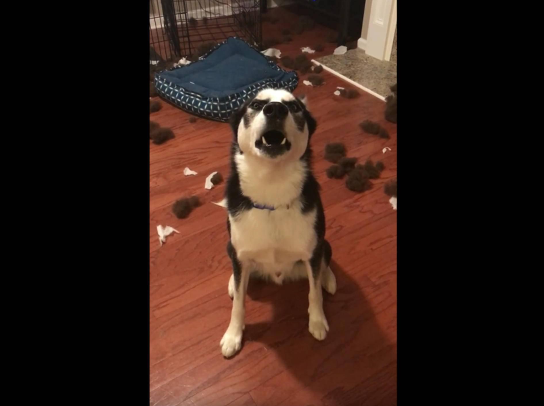 Husky Blu zerstört sein Bett und wird ausgeschimpft – YouTube / Viral Hog