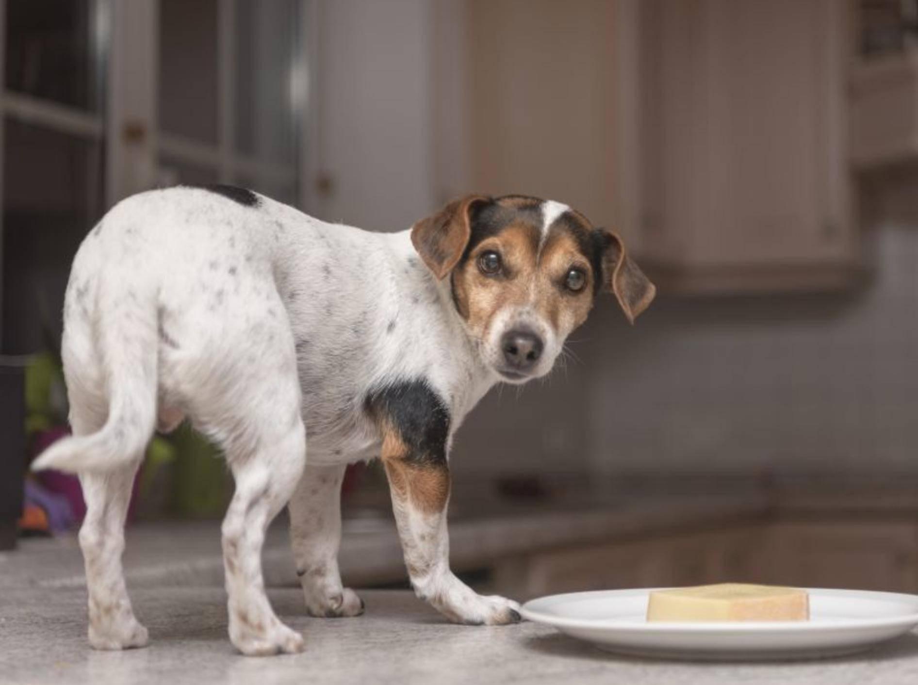 """""""Es ist nicht das, wonach es aussieht! Ich wollte mir den Käse nur einmal anschauen!"""", scheint dieser freche Hund zu denken – Shutterstock / thka"""