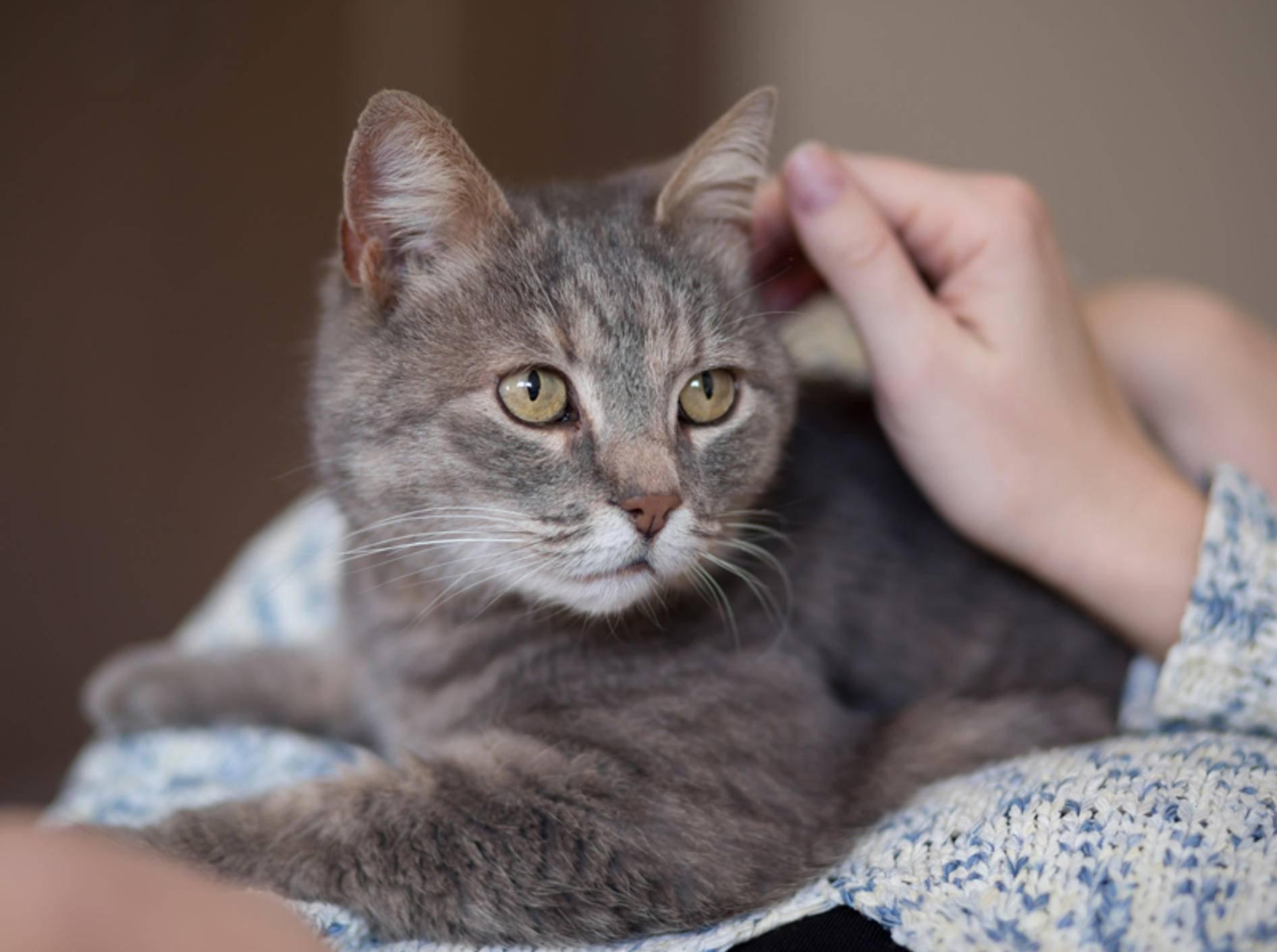 """""""Lass mich bitte nicht alleine!"""", scheint diese Katze mit Trennungsangst sagen zu wollen – Shutterstock / Sidarta"""