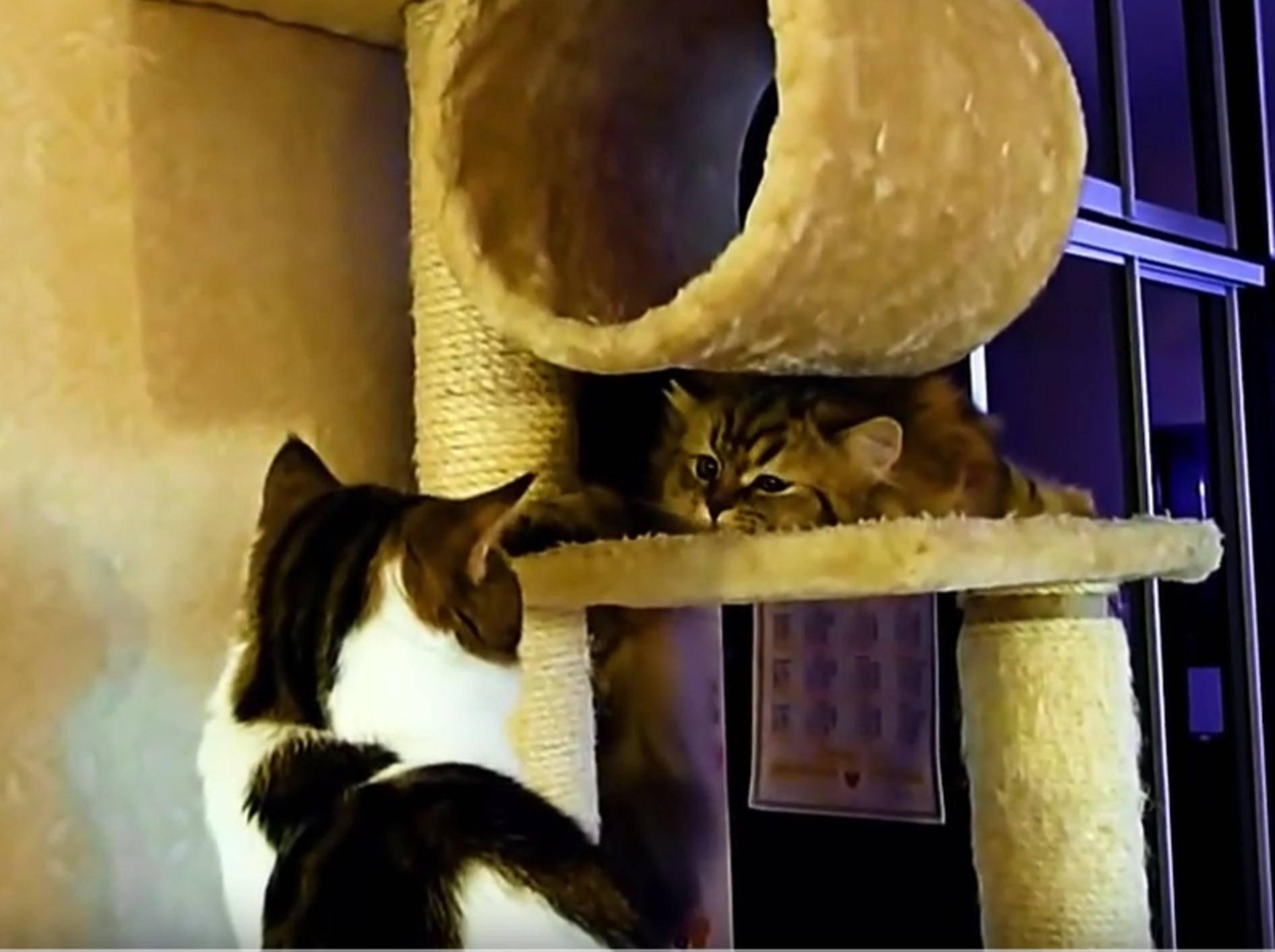 Freches Highlander-Kätzchen Panda ärgert Kater Rocky – YouTube / Funnycatsandnicefish