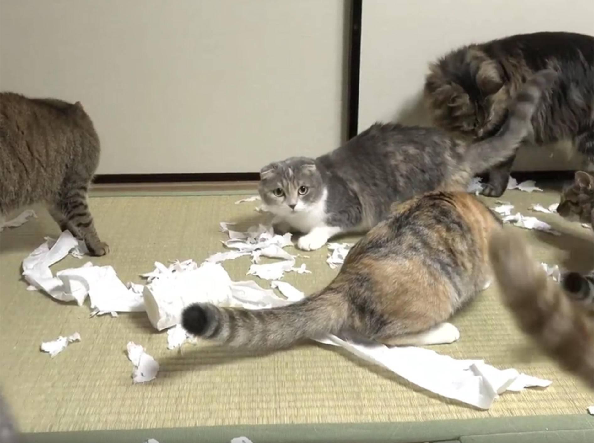 Katzen feiern Toilettenpapier-Zerstörungsparty – YouTube / 10 Cats.