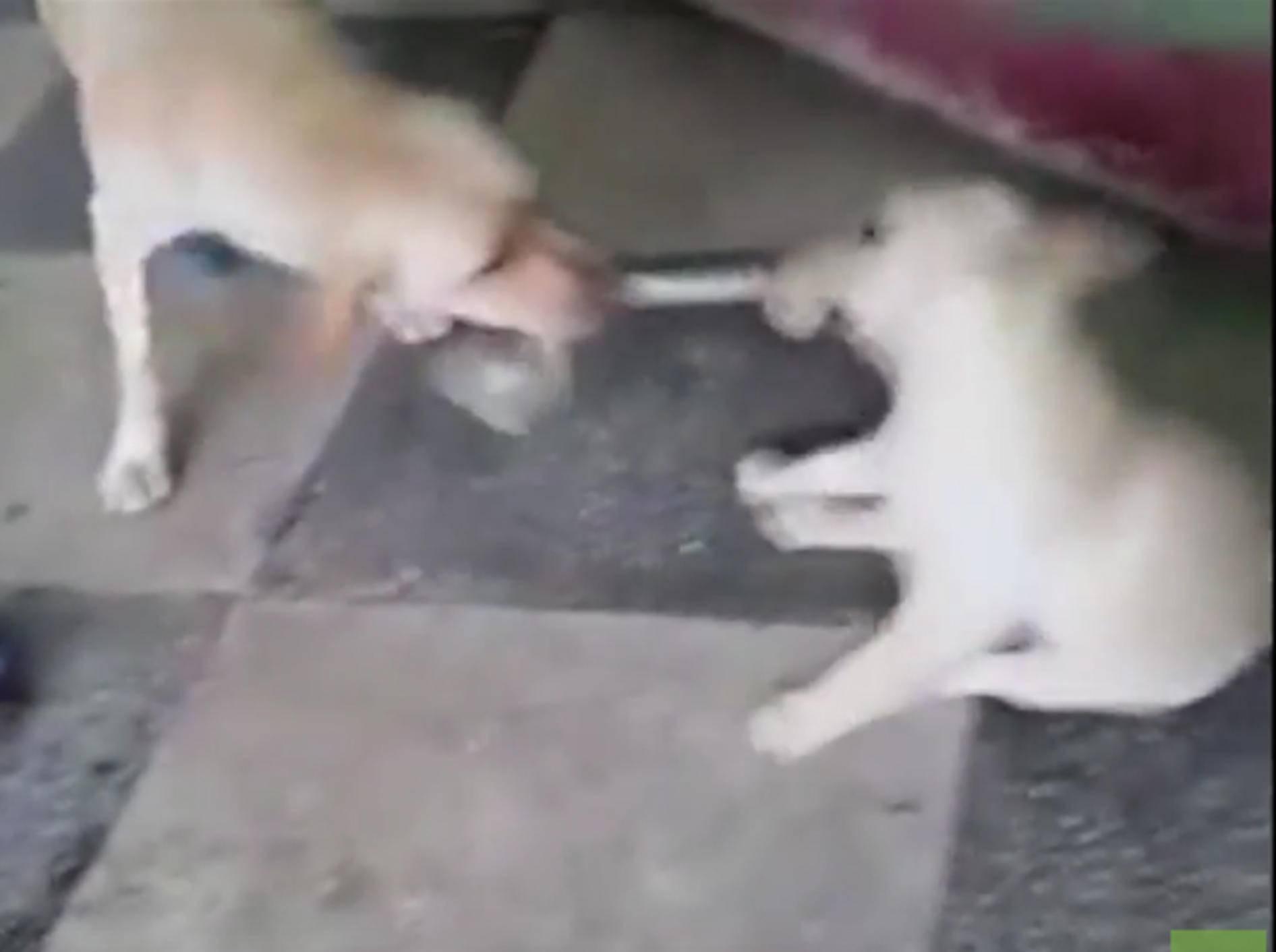 Süßer Labrador-Welpe spielt Tauziehen mit seiner Mama – YouTube / Rumble Viral