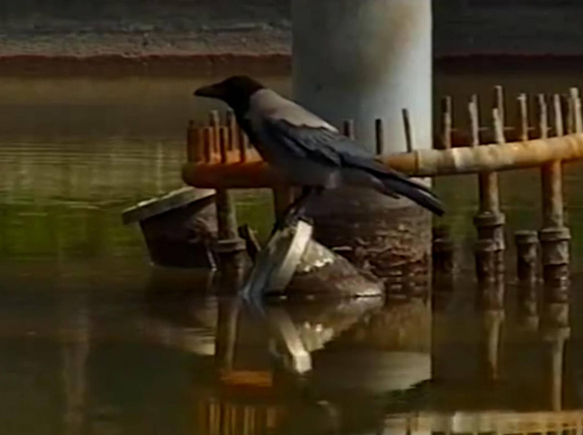 Ausgebuffte Nebelkrähe angelt Fisch mit einem Köder – YouTube / Oren Hasson