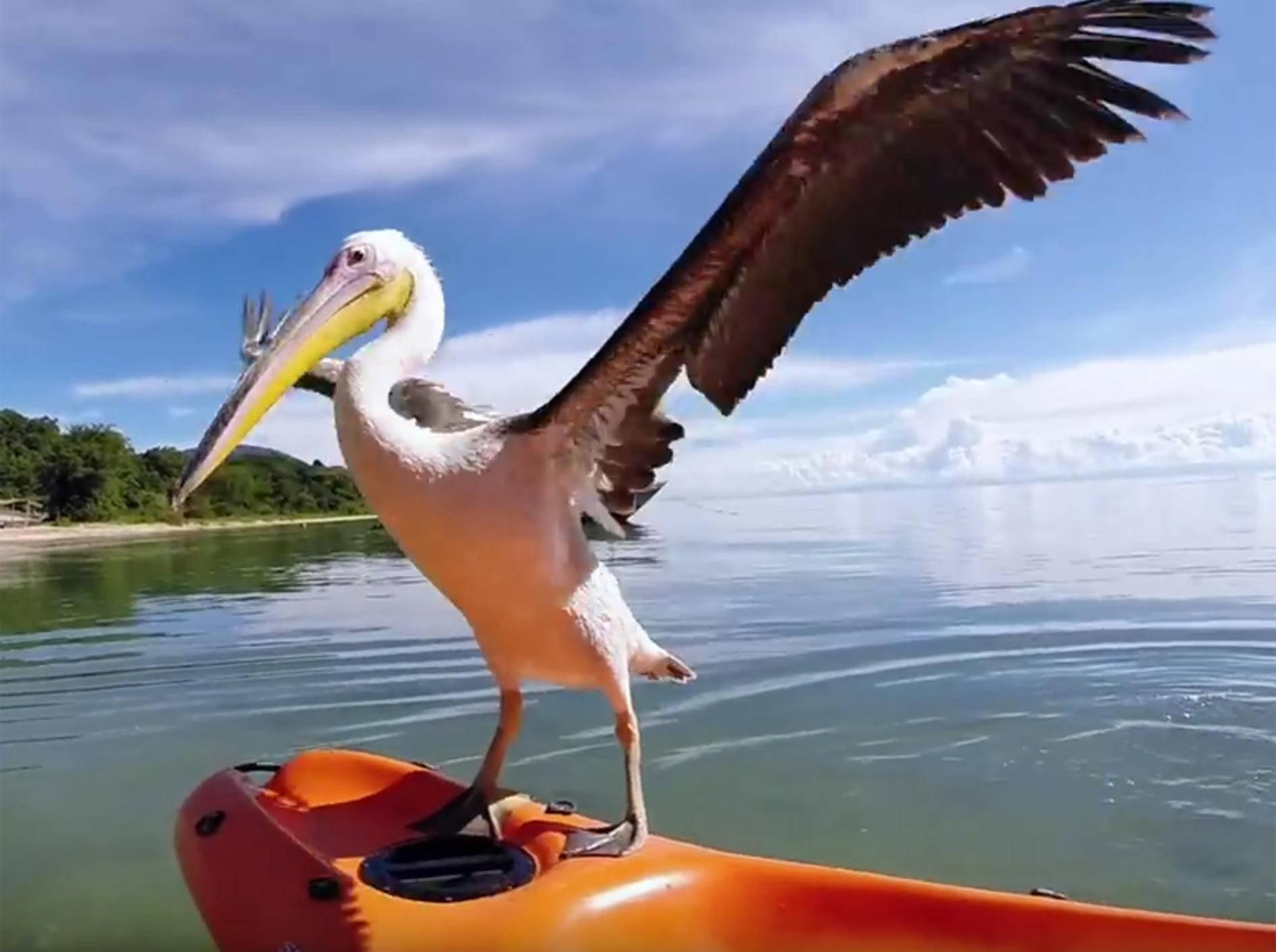 Findelpelikan Bigbird lernt Fischen – YouTube / GoPro