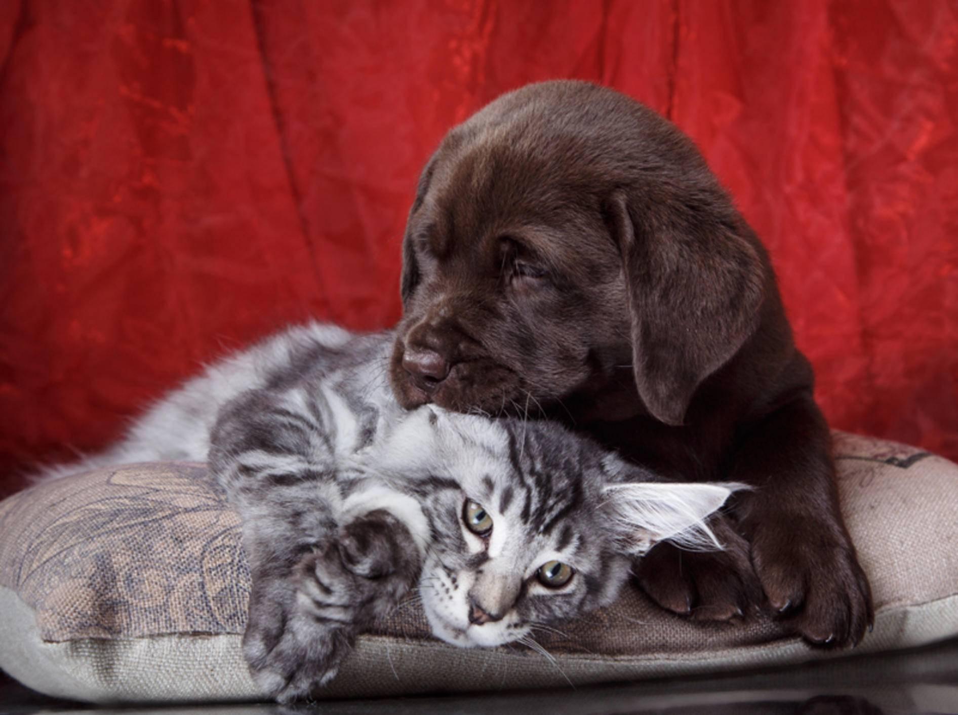 Diese süße Maine-Coon-Katze und der herzige Labrador-Hundewelpe sind beste Freunde – Shutterstock / dezi