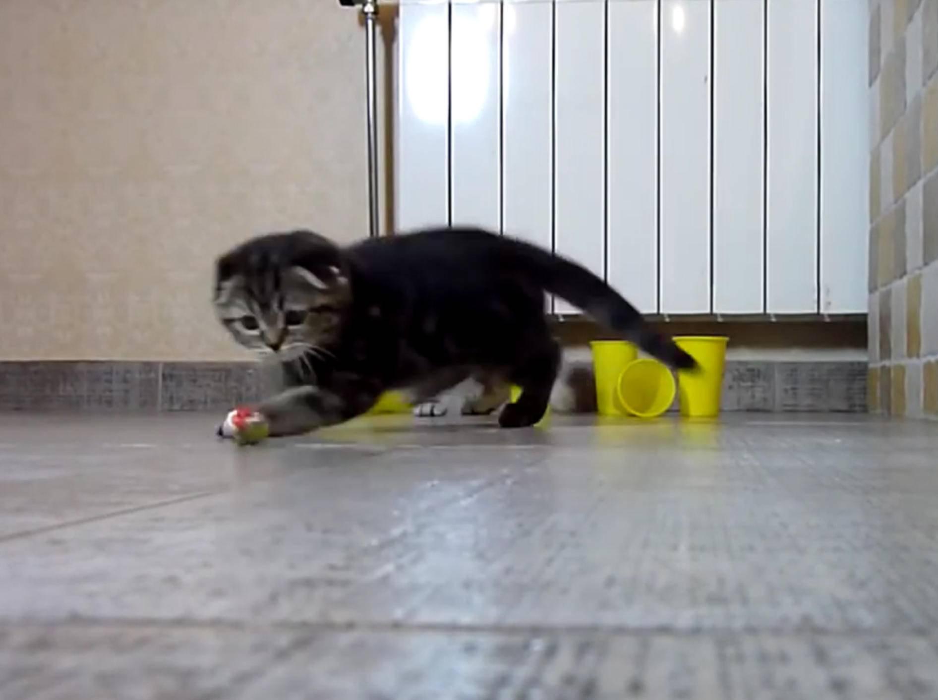 Scottish-Fold-Kätzchen spielen Bowling nach eigenen Regeln – YouTube / Funnycatsandnicefish
