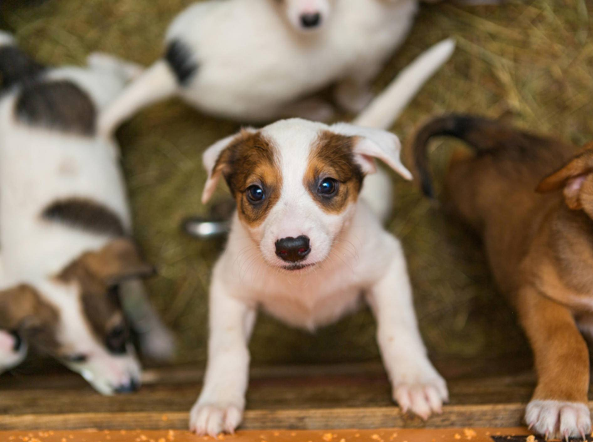 Wer so süße Hundebabys in Kleinanzeigen entdeckt, möchte sie am liebsten sofort kaufen. Aber ist das Angebot auch seriös? – Shutterstock / Okssi