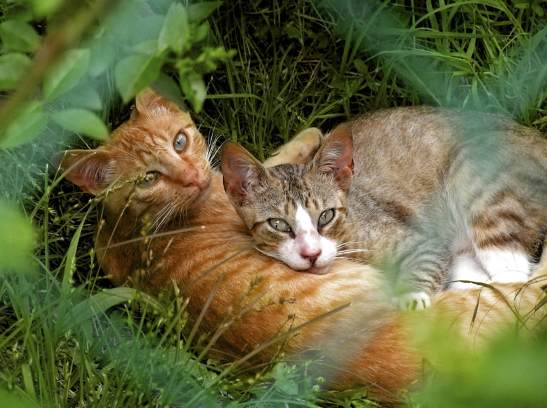 Das andere Geschlecht wird bei Katzen dann erst als richtig interessant wahrgenommen, wenn sie die Geschlechtsreife erreicht haben – Shutterstock / Fernando Alvarez Charro
