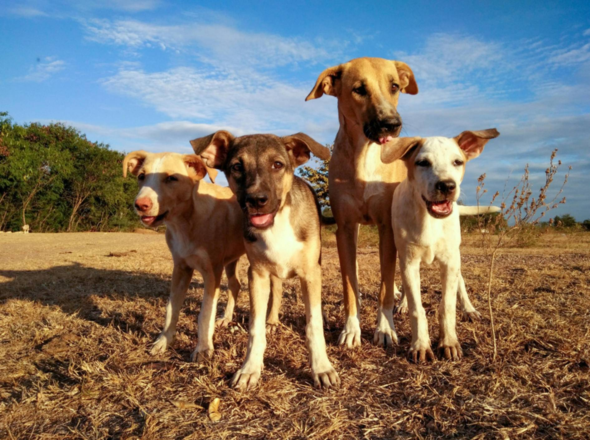 Wenn Hunde im Hunderudel unterwegs sind, ist die Hierarchie klar geregelt – chanyut Sribua rawd / Shutterstock