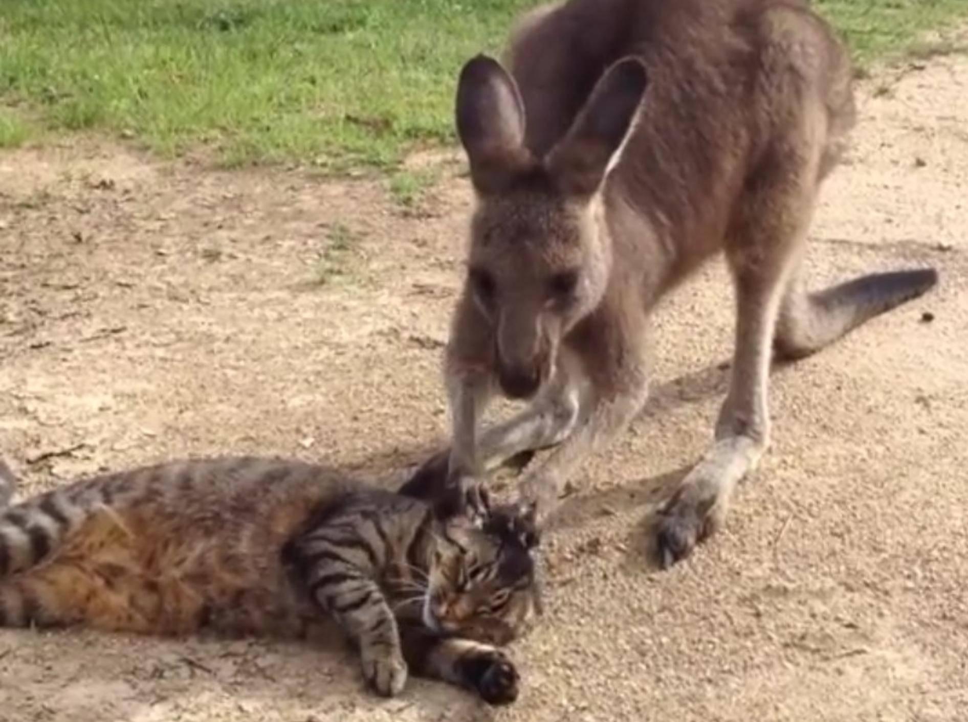 Dabei will das Känguru doch nur spielen... – YouTube / Paul Cesnik