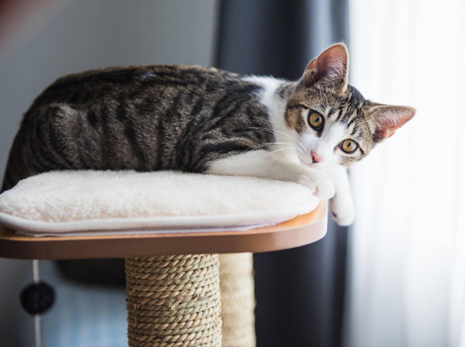 Jeder Katzenhaushalt sollte über mindestens einen guten Kratzbaum verfügen, auf dem es sich die Fellschnuten gemütlich machen können – Shutterstock / Anna Hoychuk