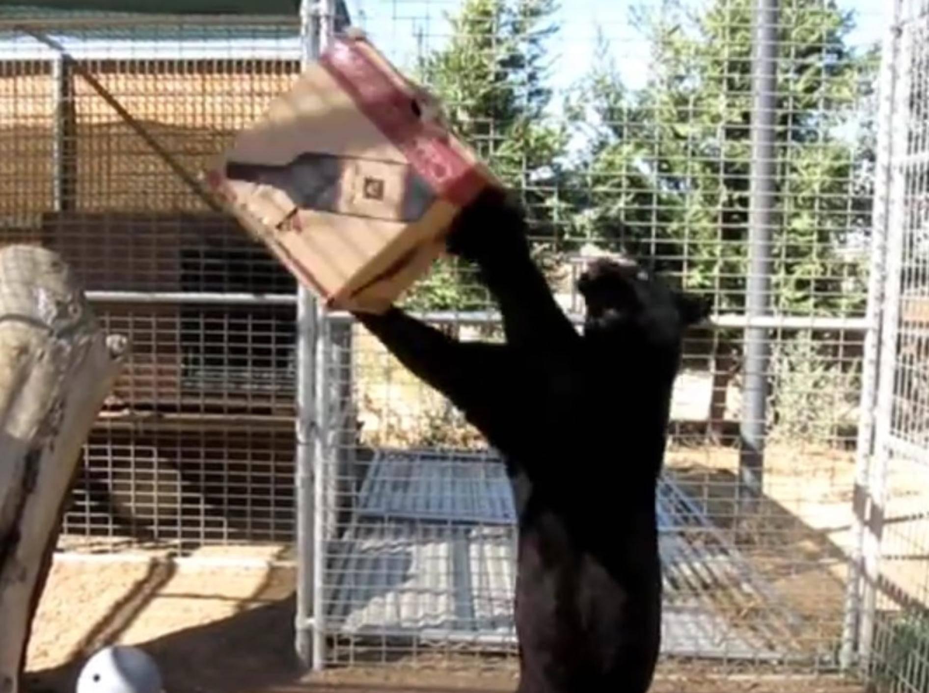 Ob groß oder klein – Katzen spielen gerne mit Kartons – YouTube / Foreverwildexotics