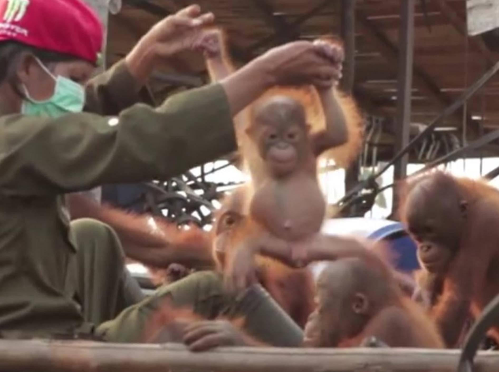 Unter Freunden macht das Leben doch gleich viel mehr Spaß! – YouTube / Orangutan Outreach ~ redapes.org
