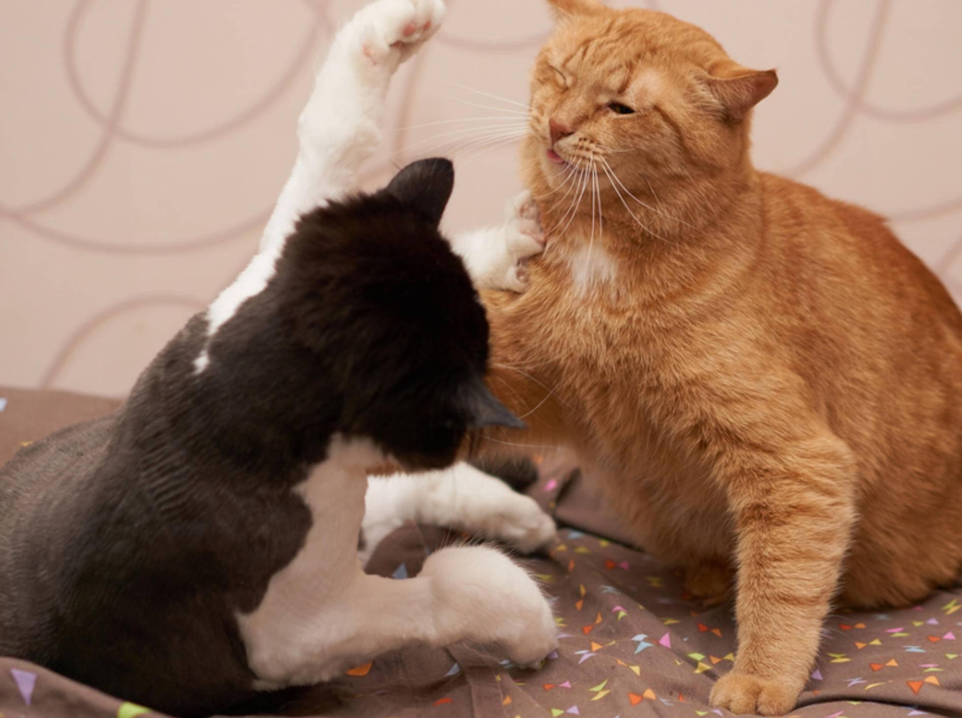 In einem Mehrkatzenhaushalt ist Streit nicht weit – Hauptsache, alle vertragen sich hinterher wieder - Shutterstock / Samarskiy
