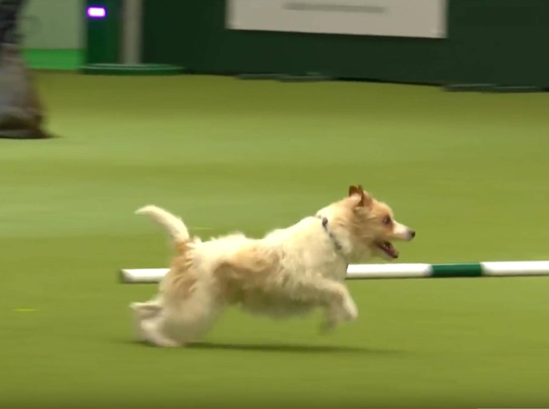 Jack-Russell-Terrier Olly pfeift auf Agility-Regeln – YouTube / Crufts