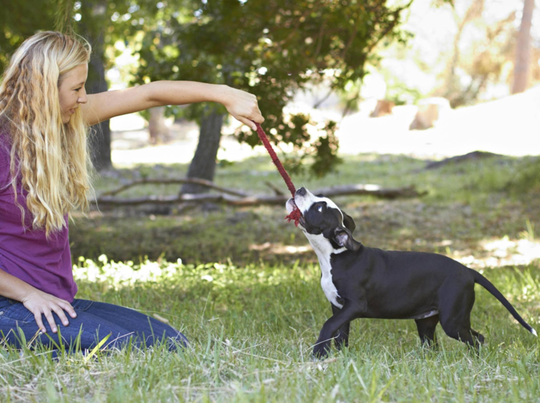 Mit den richtigen Regeln ist Tauziehen ein tolles Spiel für Hund und Mensch – Shutterstock / dogboxstudio