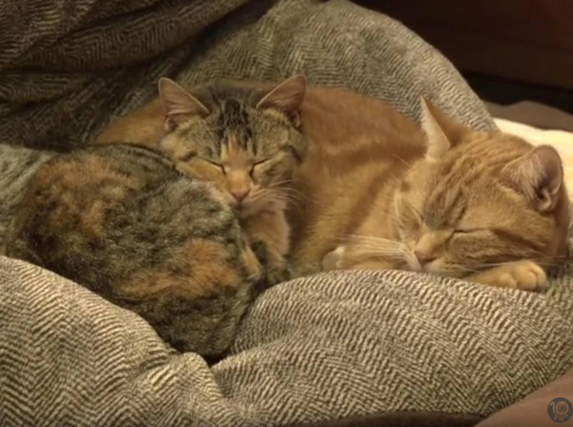 Katzen spielen Babysitter für kleines Adoptivkätzchen – YouTube / 10 Cats.