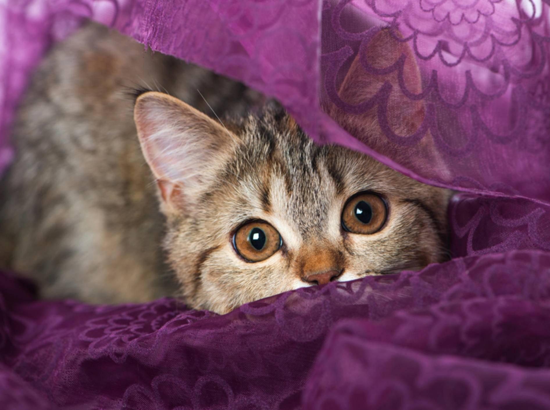 Ihre sonst muntere Katze versteckt sich und wirkt ängstlich? Solche Verhaltensauffälligkeiten sollten Sie aufmerksam beobachten – Shutterstock / Dora Zett
