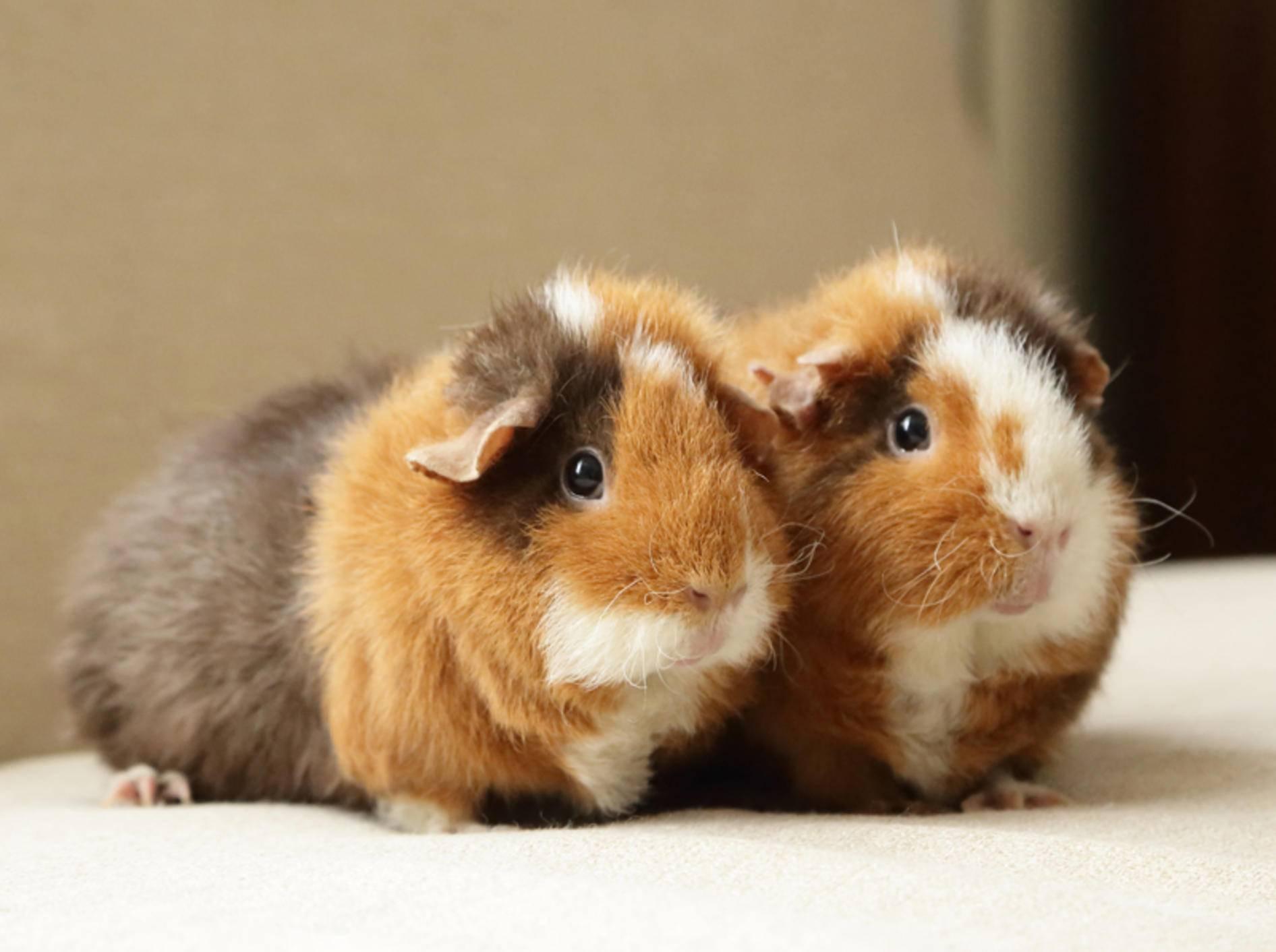 Wenn Meerschweinchen sich so eng aneinander schmiegen, kann das ein Symptom für Stress sein – Shutterstock / yurilily