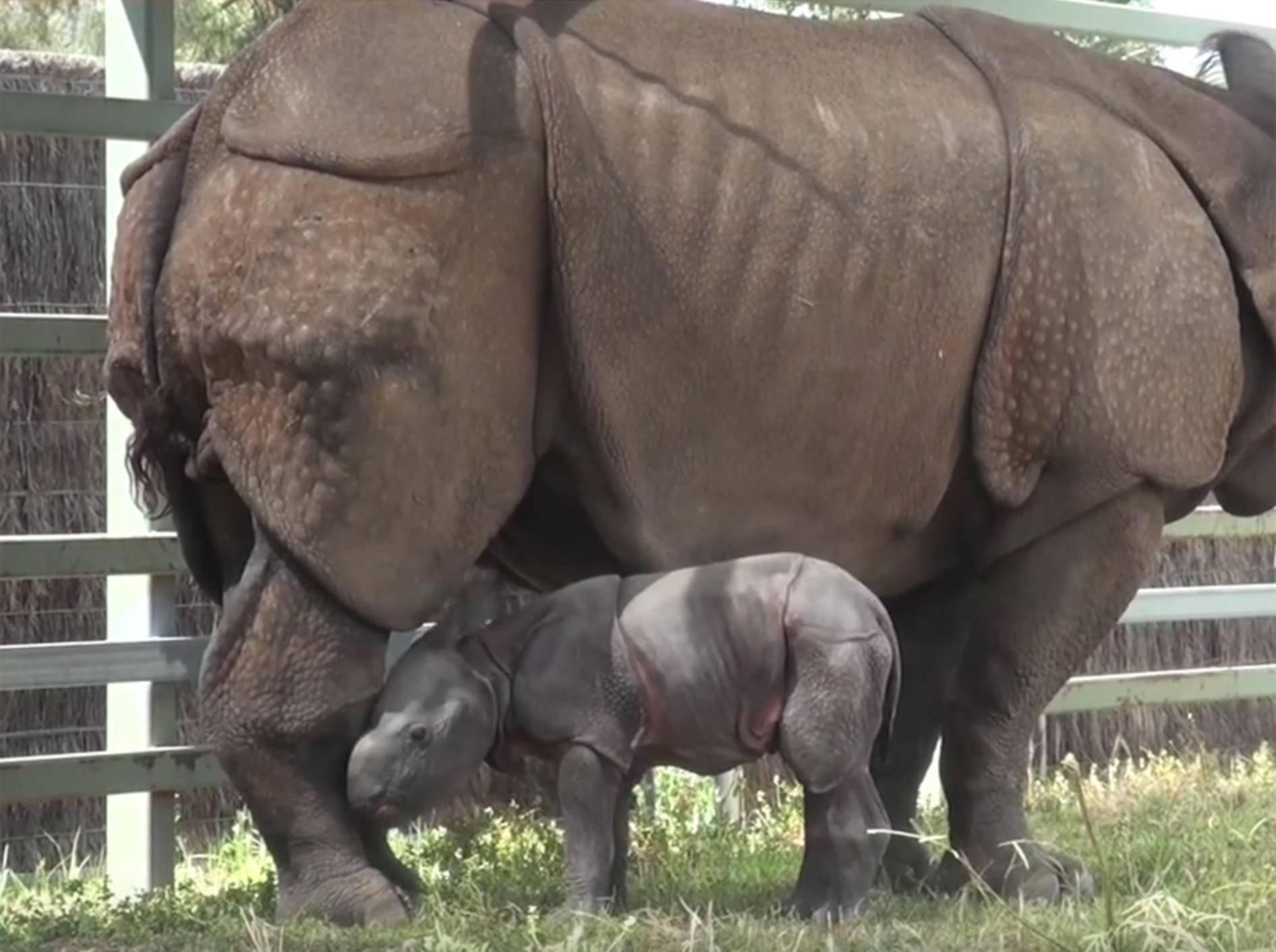 Süßes Nashorn-Baby im Zoo von Sidney geboren – YouTube / Taronga Sydney