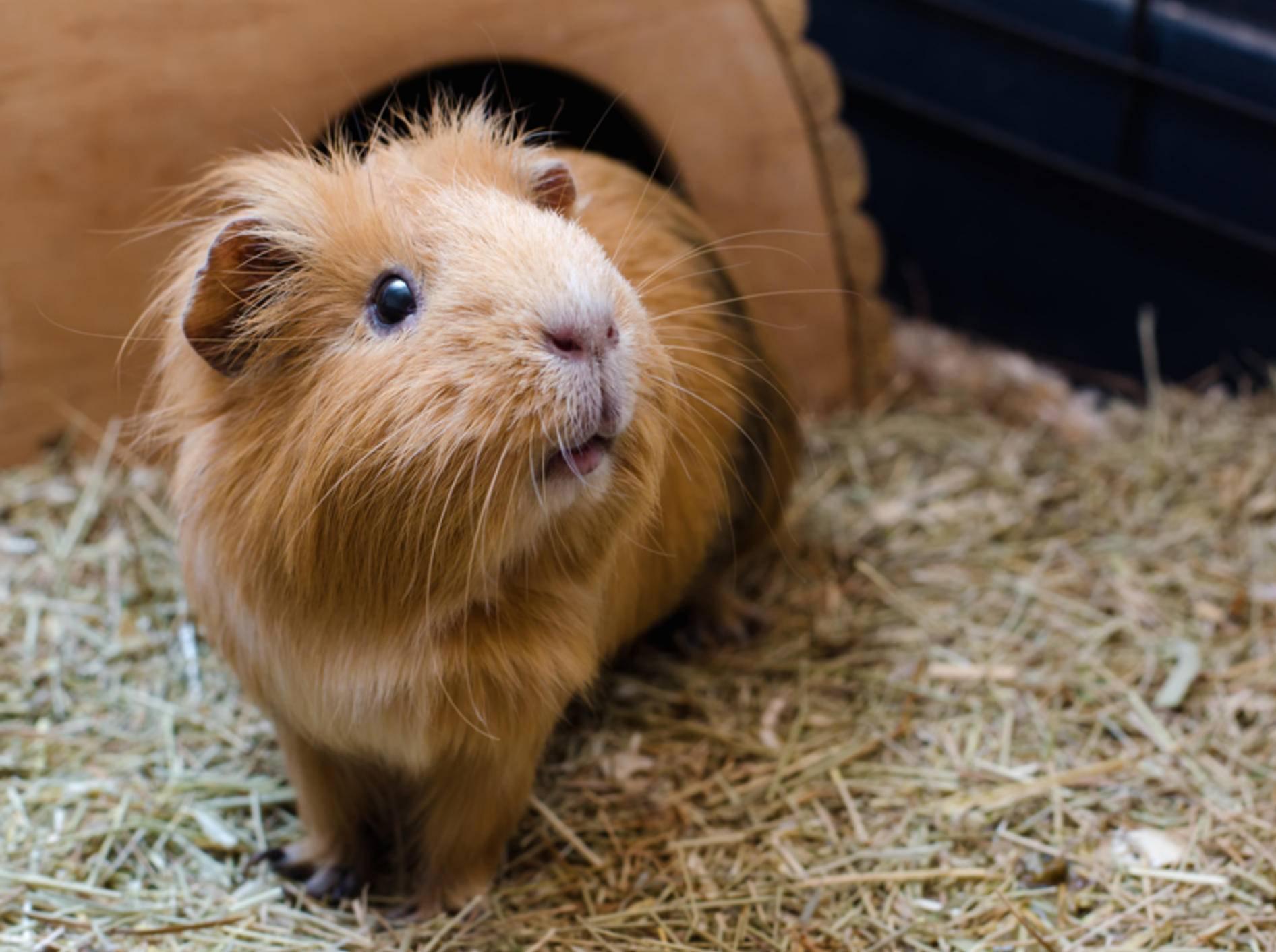 Dieses Meerschweinchen wirkt neugierig, munter und aufmerksam – ein rundum gesundes Verhalten – Shutterstock / Dev_Maryna