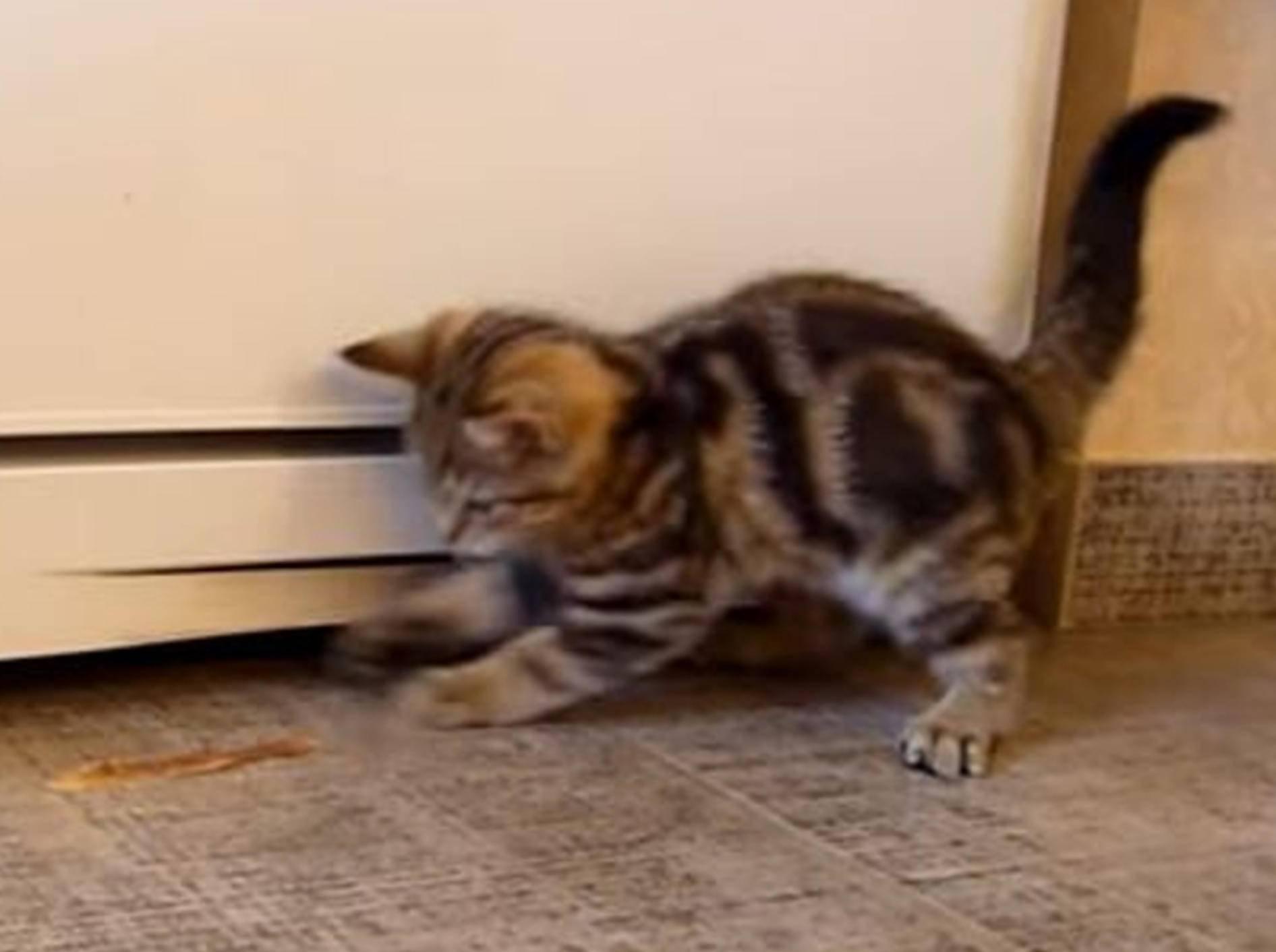 Kätzchen Oprah und die Kunst, eine Kartoffelschale zu fangen – YouTube / Funnycatsandnicefish