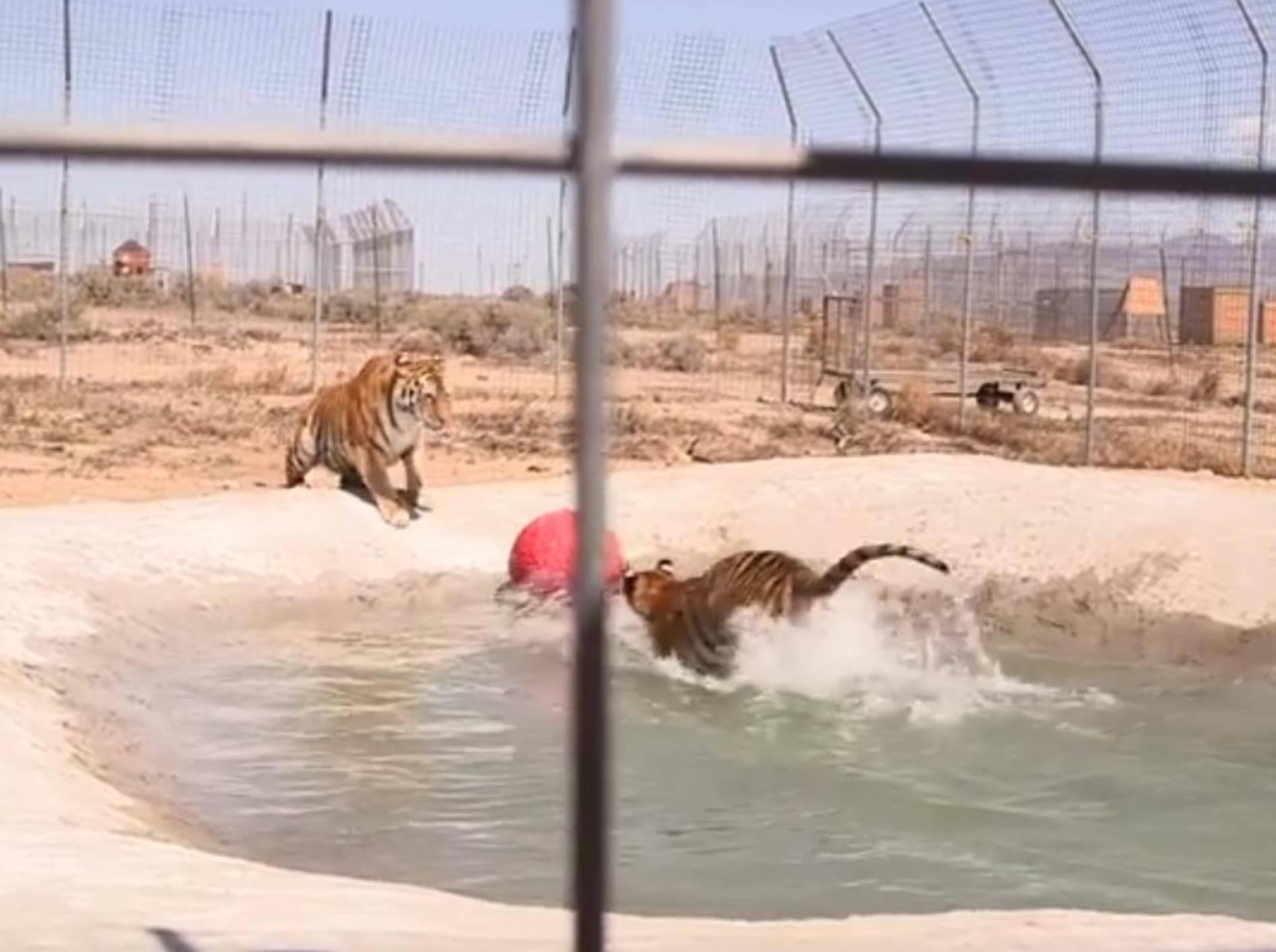 So viel Spaß haben die beiden Tiger Lily und Carli in ihrem eigenen Pool – YouTube / IFAW - International Fund For Animal Welfare