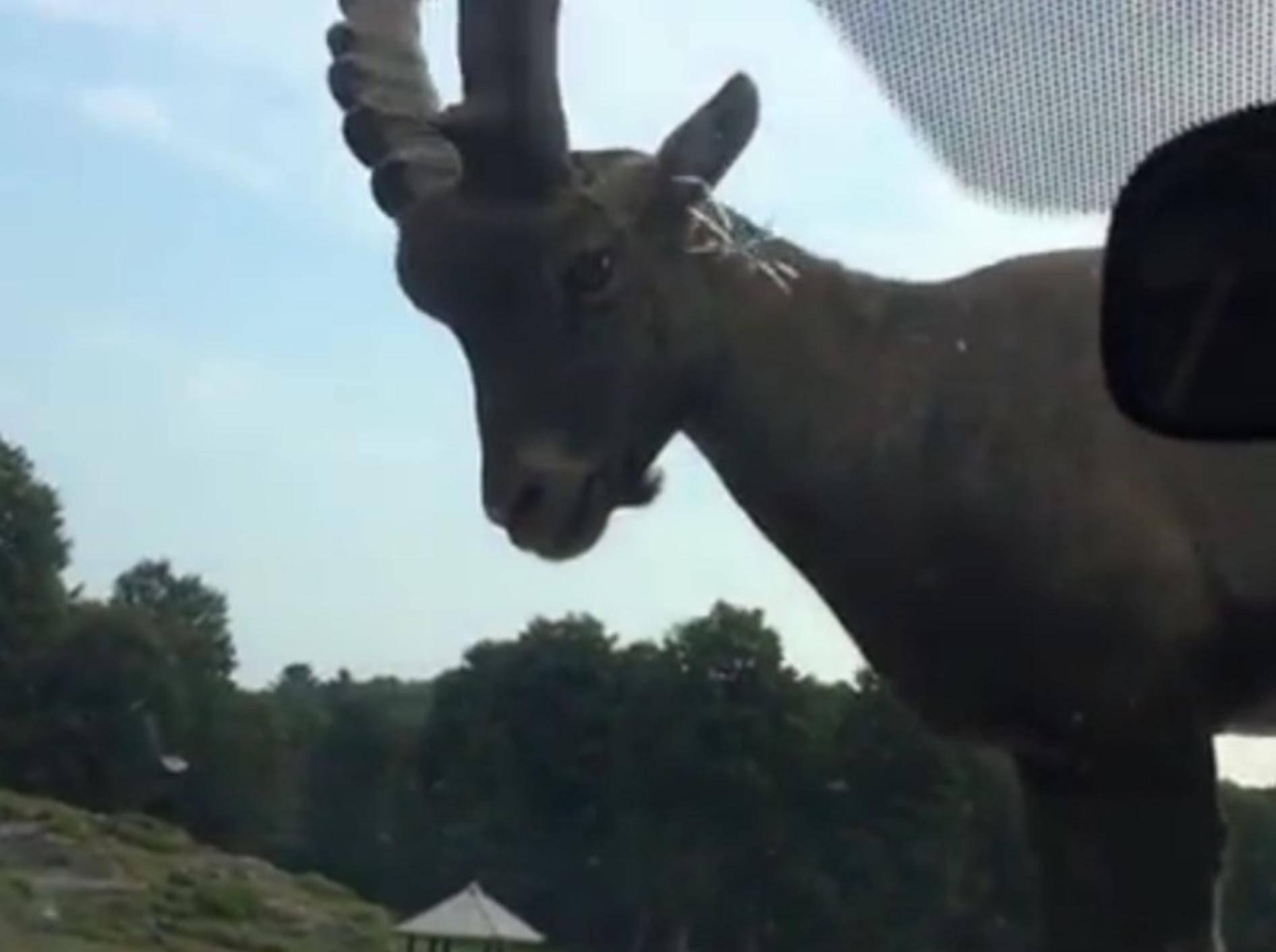So frecht spaziert die Ziege auf der Motorhaube herum – YouTube / Waggle TV