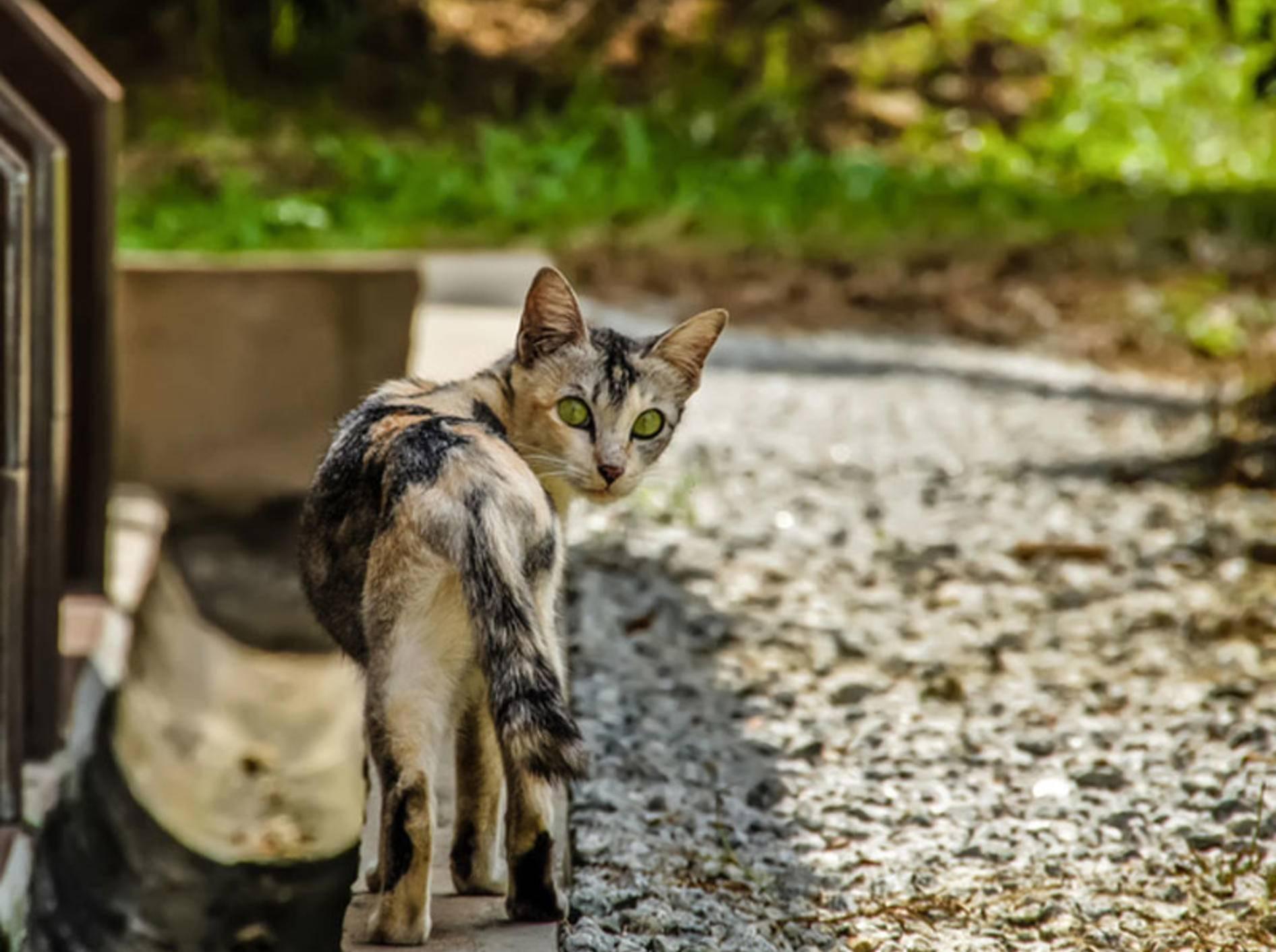 Manchmal kommen Freilauf-Katzen immer seltener nach Hause – shutterstock / Kisov Boris