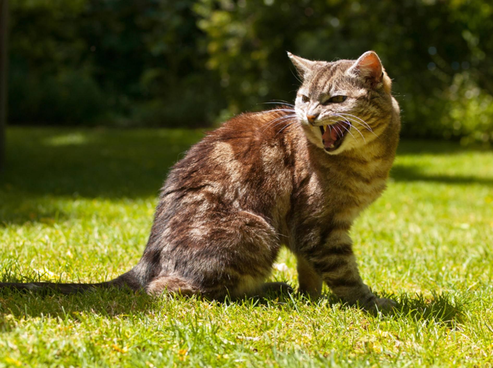 Getigerte Katze sitzt auf Wiese und miaut