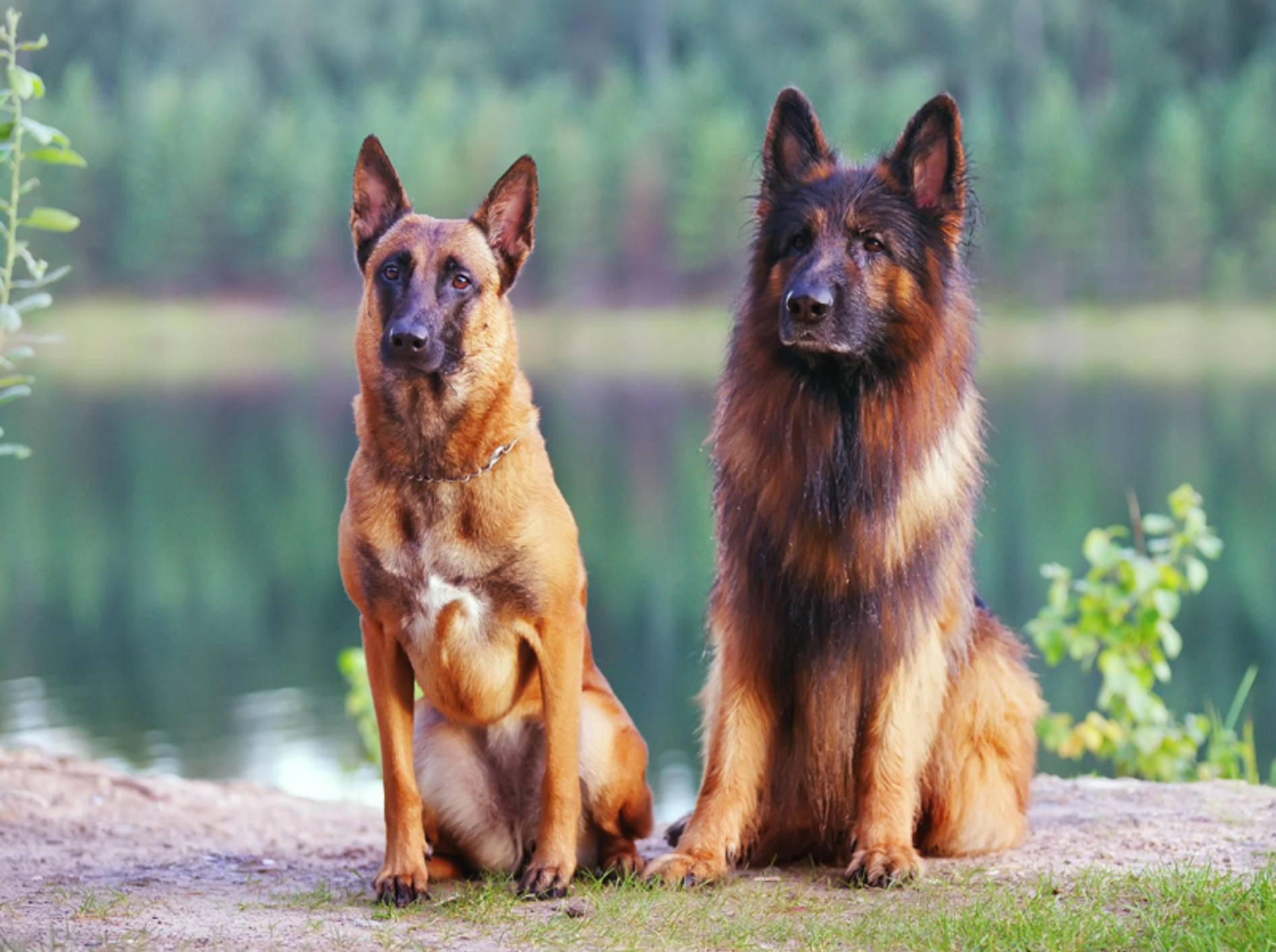 Links im Bild ist ein Malinois (Belgischer Schäferhund) zu sehen, rechts im Bild ein langhaariger Deutscher Schäferhund – Shutterstock / Eudyptula