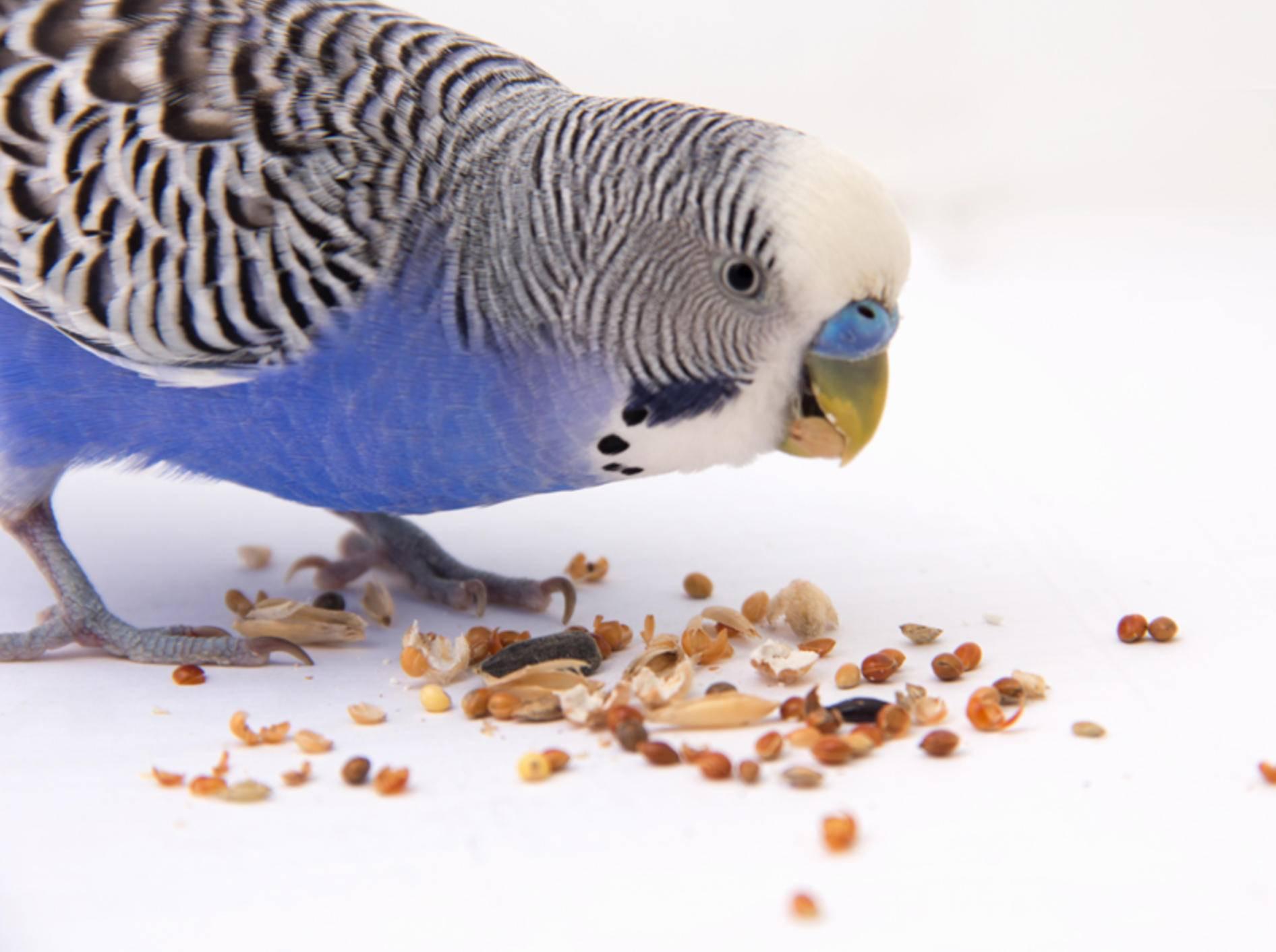 Als Ernährungsgrundlage bieten sich Samen und Körner bei Wellensittichen an – Shutterstock / PrakapenkaAlena