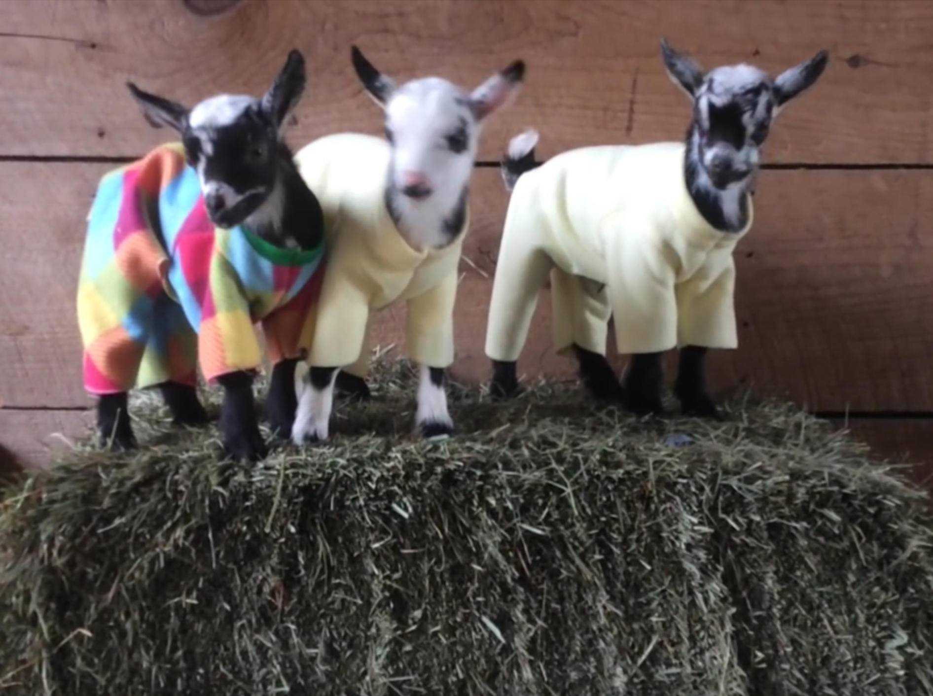 Pyjamaparty im Ziegenkindergarten – YouTube / Sunflower Farm Creamery