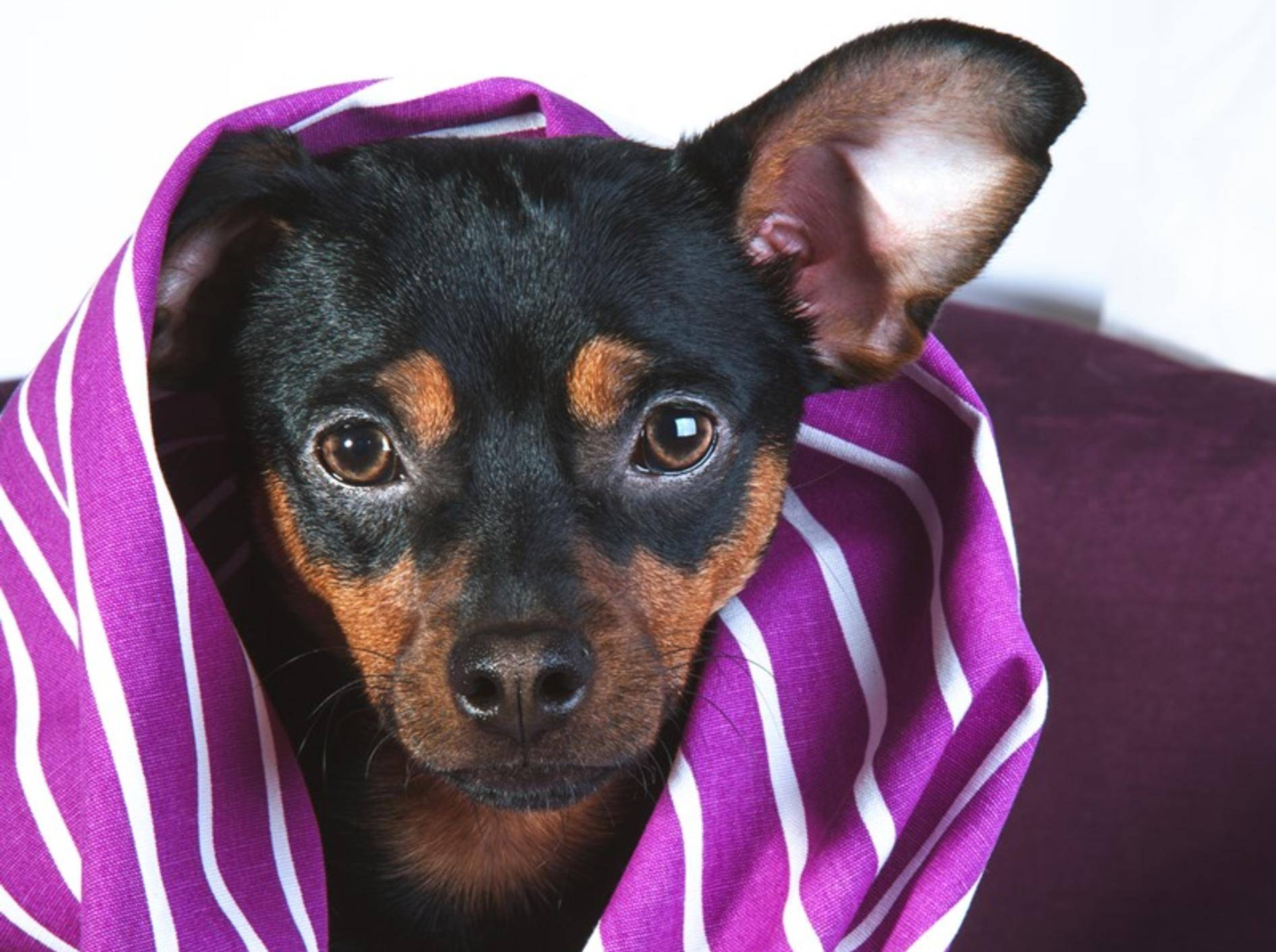 English-Toy-Terrier-zittert-schnell