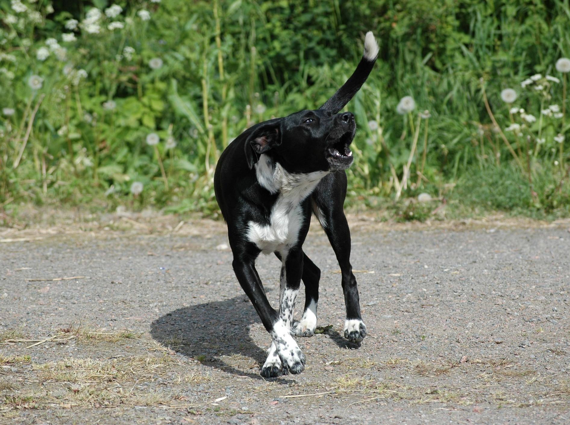 Hund bellt Menschen an